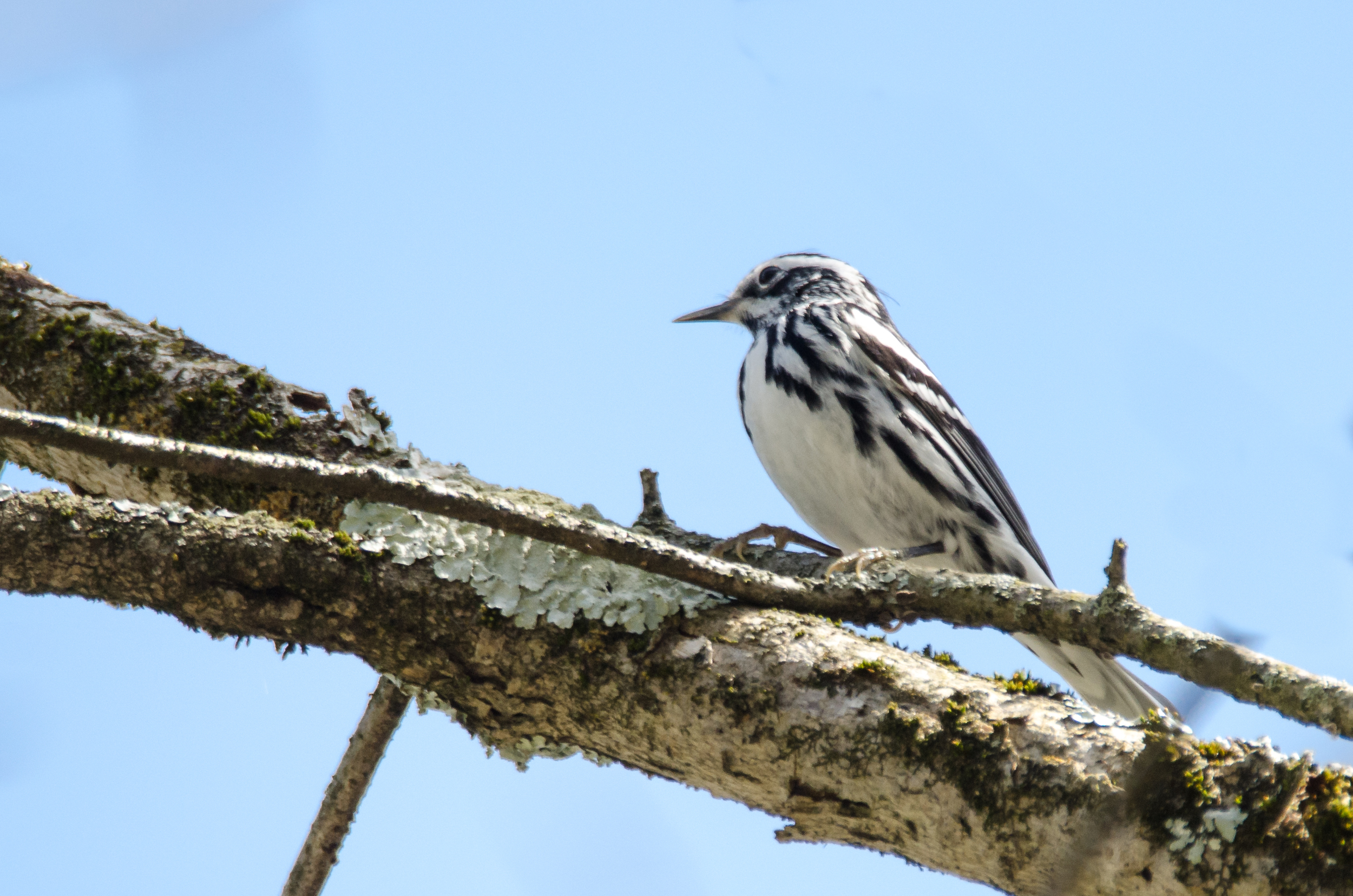 Black-and-White Warbler  Nikon D7000 ISO 450 600mm f/8/0 1/640 sec.