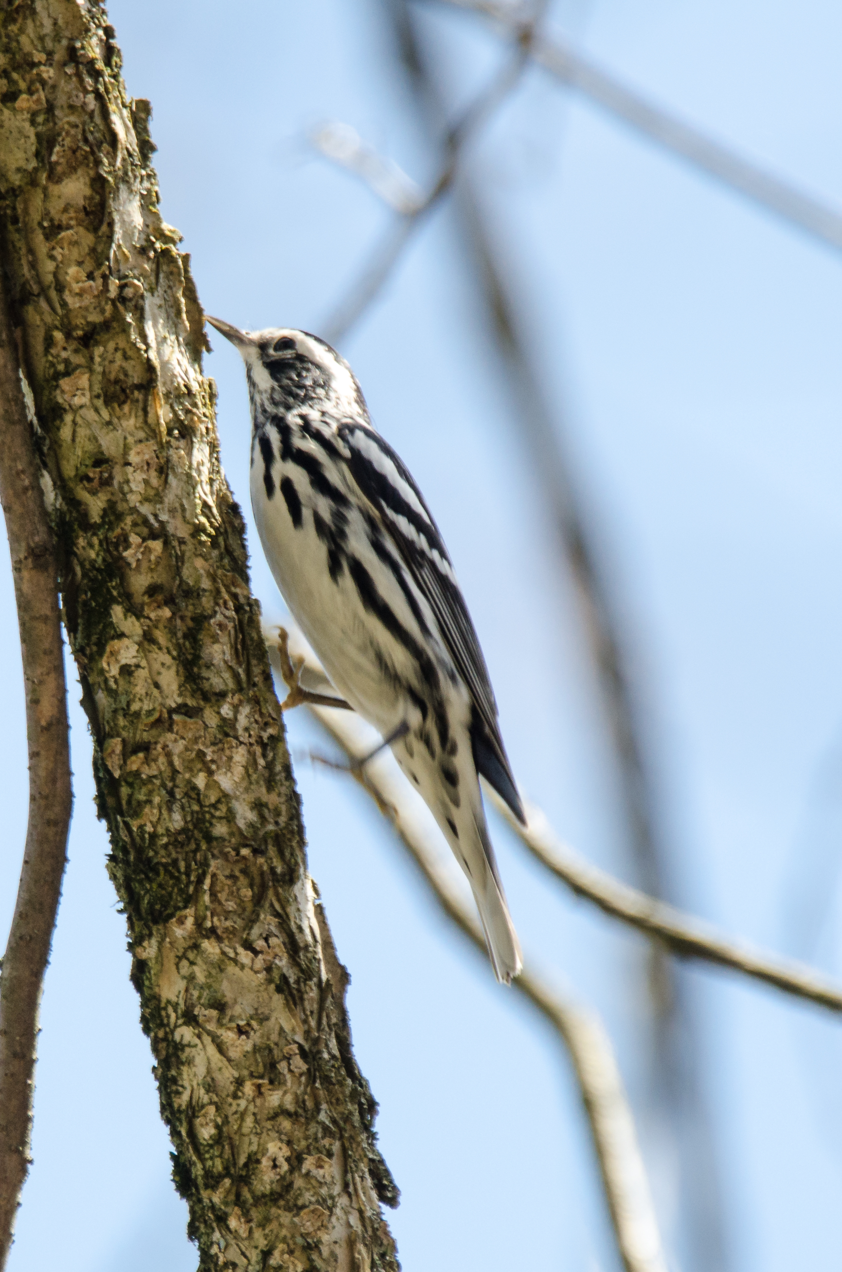 Black-and-White Warbler Nikon D7000 ISO 400 600mm f/8.0 1/640 sec.