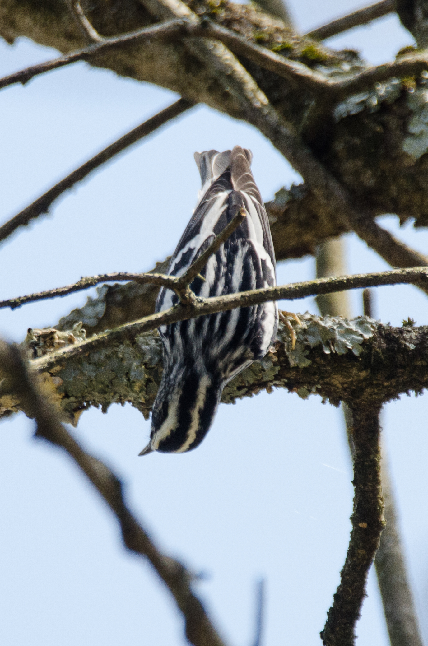 Black-and-White Warbler  Nikon D7000 ISO 720 600mm f/8.0 1/640 sec.