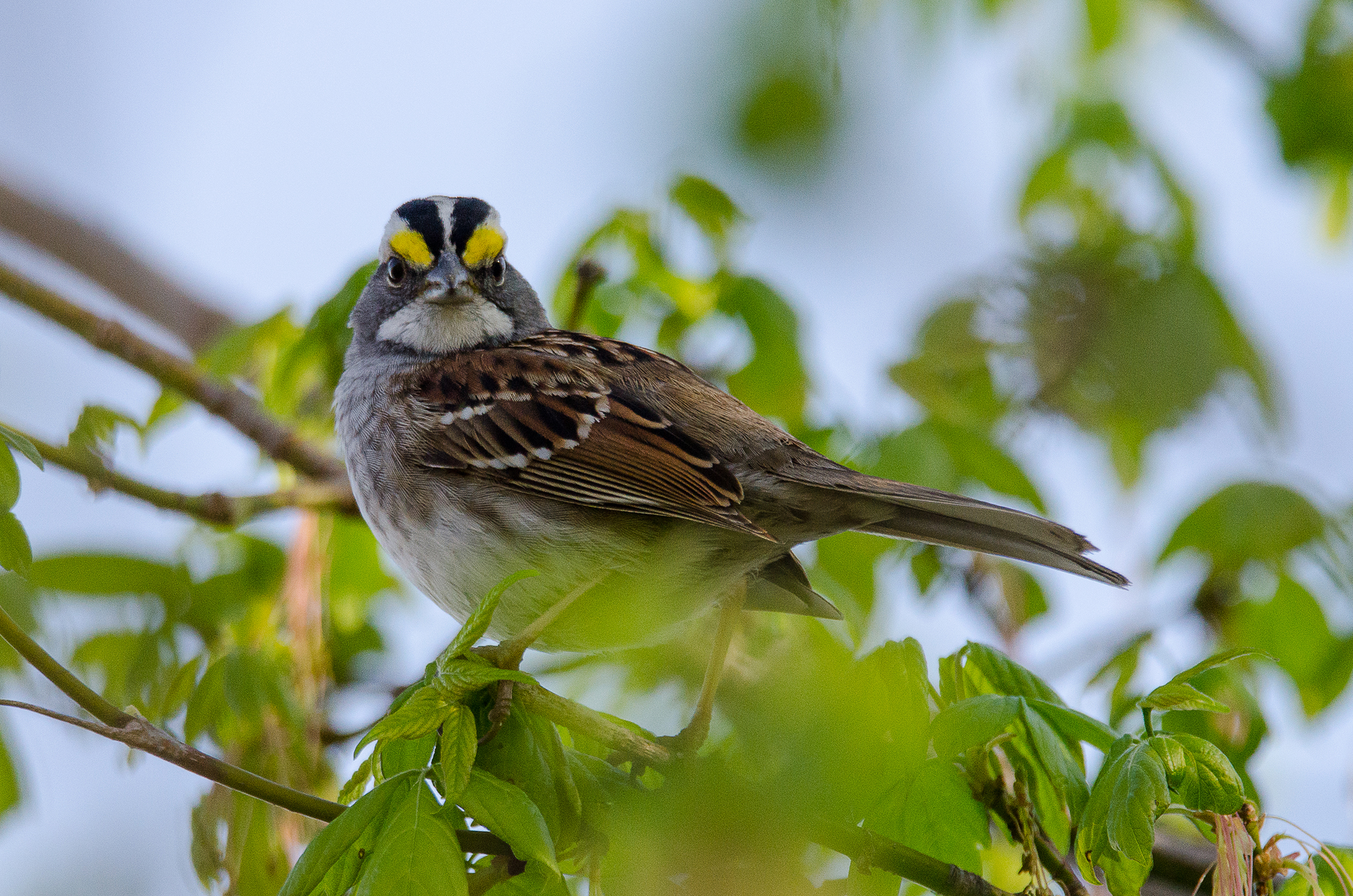 White-Throated Sparrow  Nikon D7000 ISO 800 550mm f/8.0 1/1250 sec