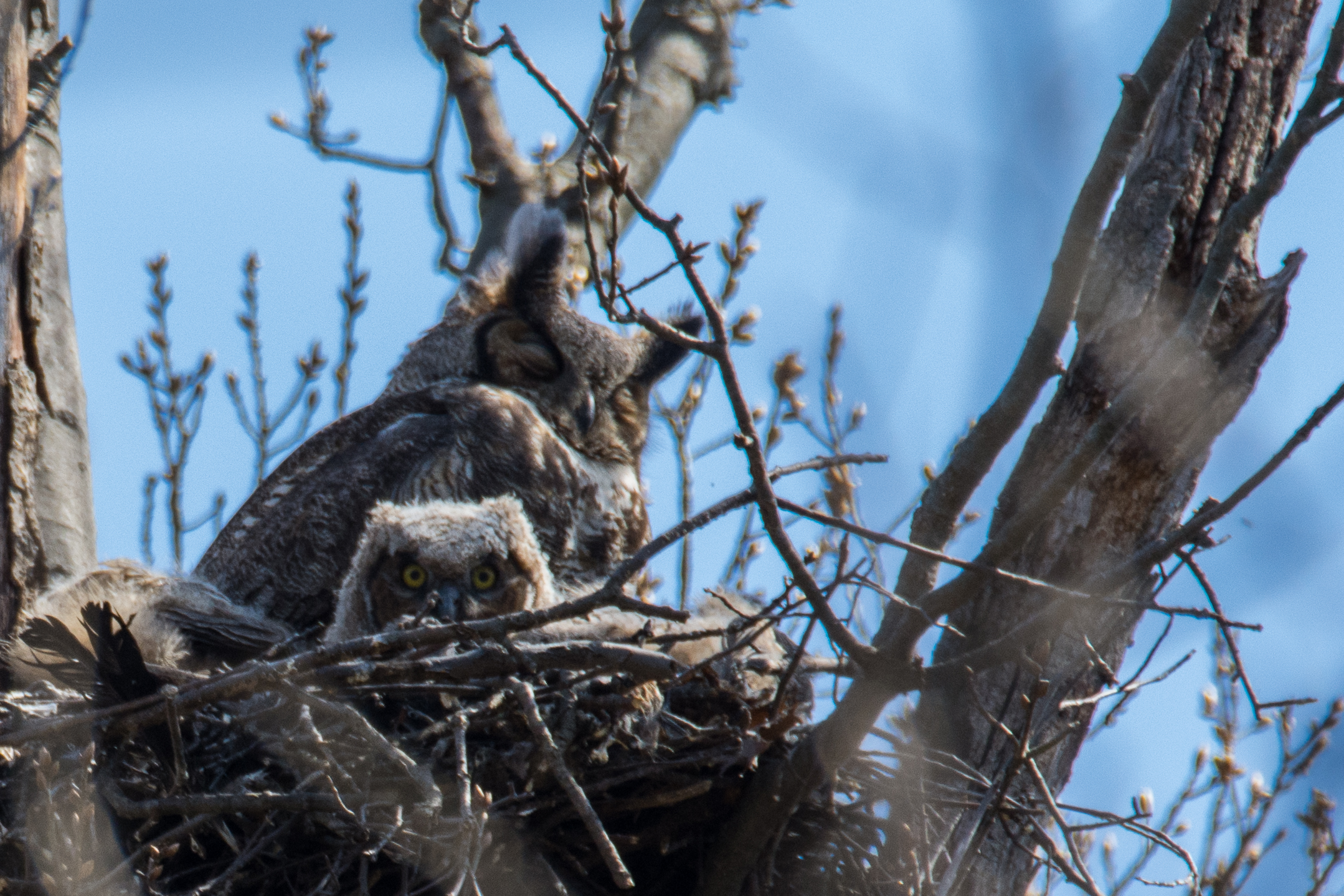 Great Horned Owlet  Nikon D7100 600mm ISO 500 f/10 1/400 sec (heavy crop)