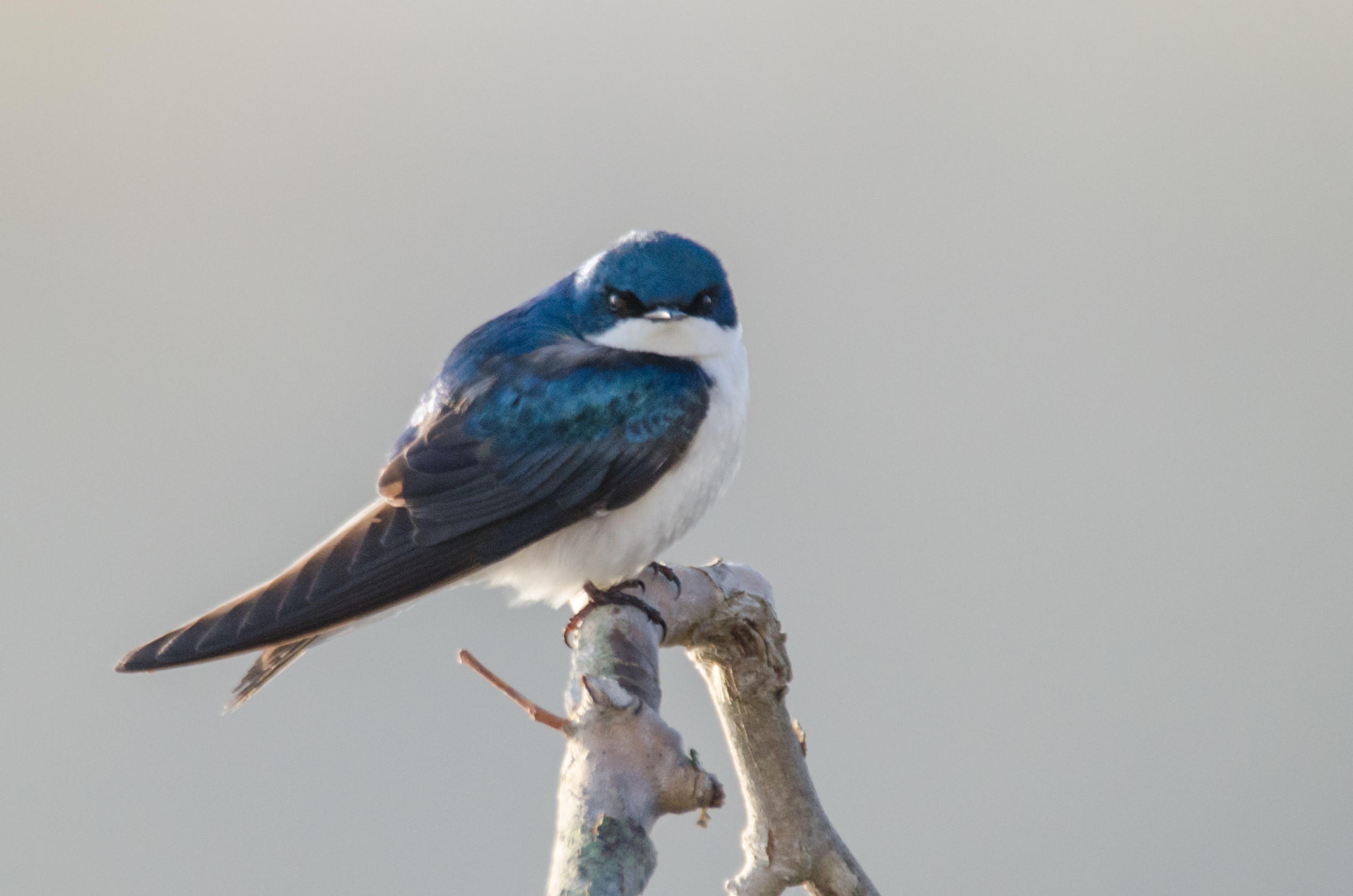 Tree Swallow  ISO 800 600mm f/7.1 1/800 sec