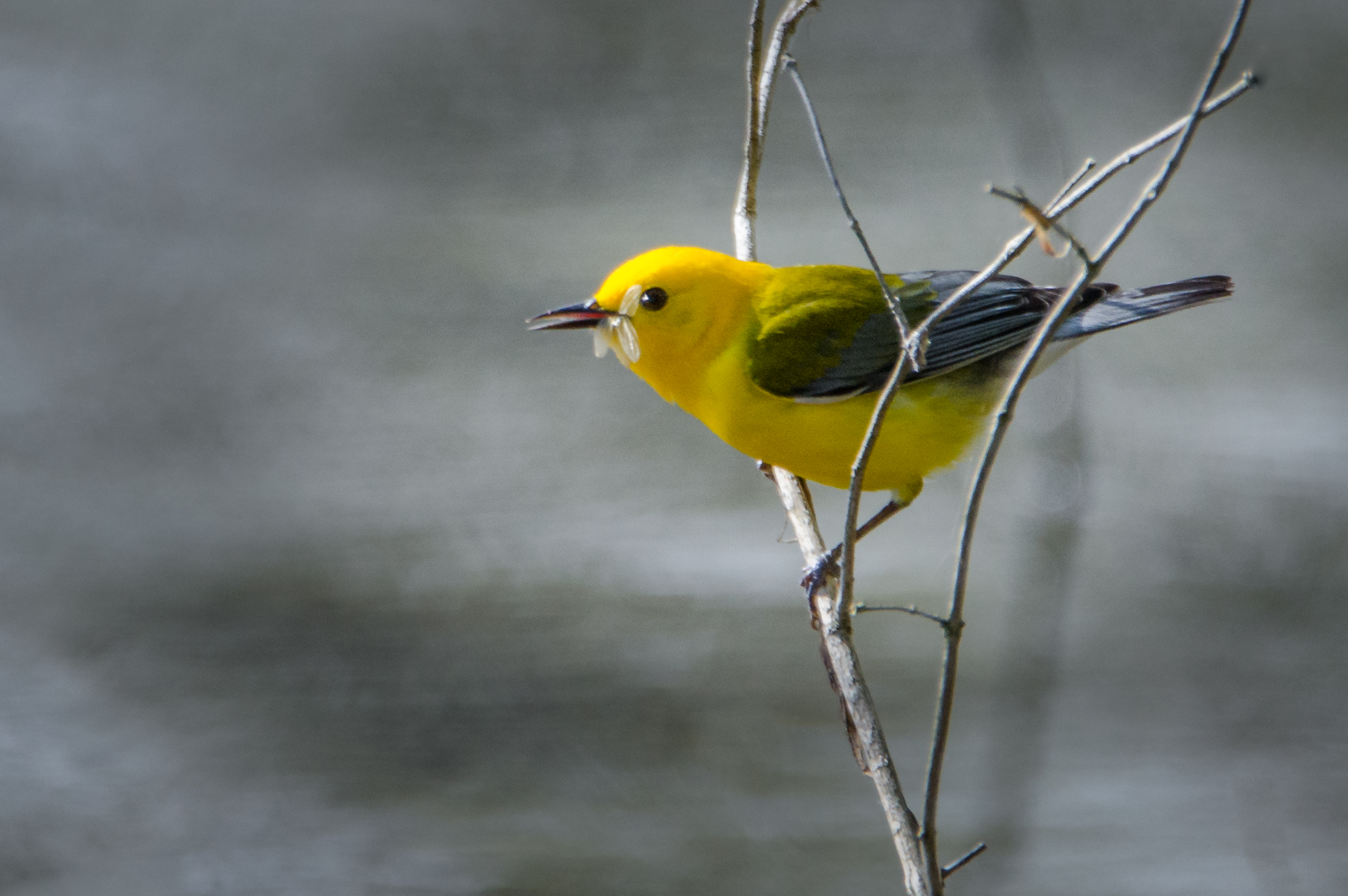 Prothonotary Warbler with Gnat  Nikon D7000 ISO 800 600mm f/6.3 1/1000