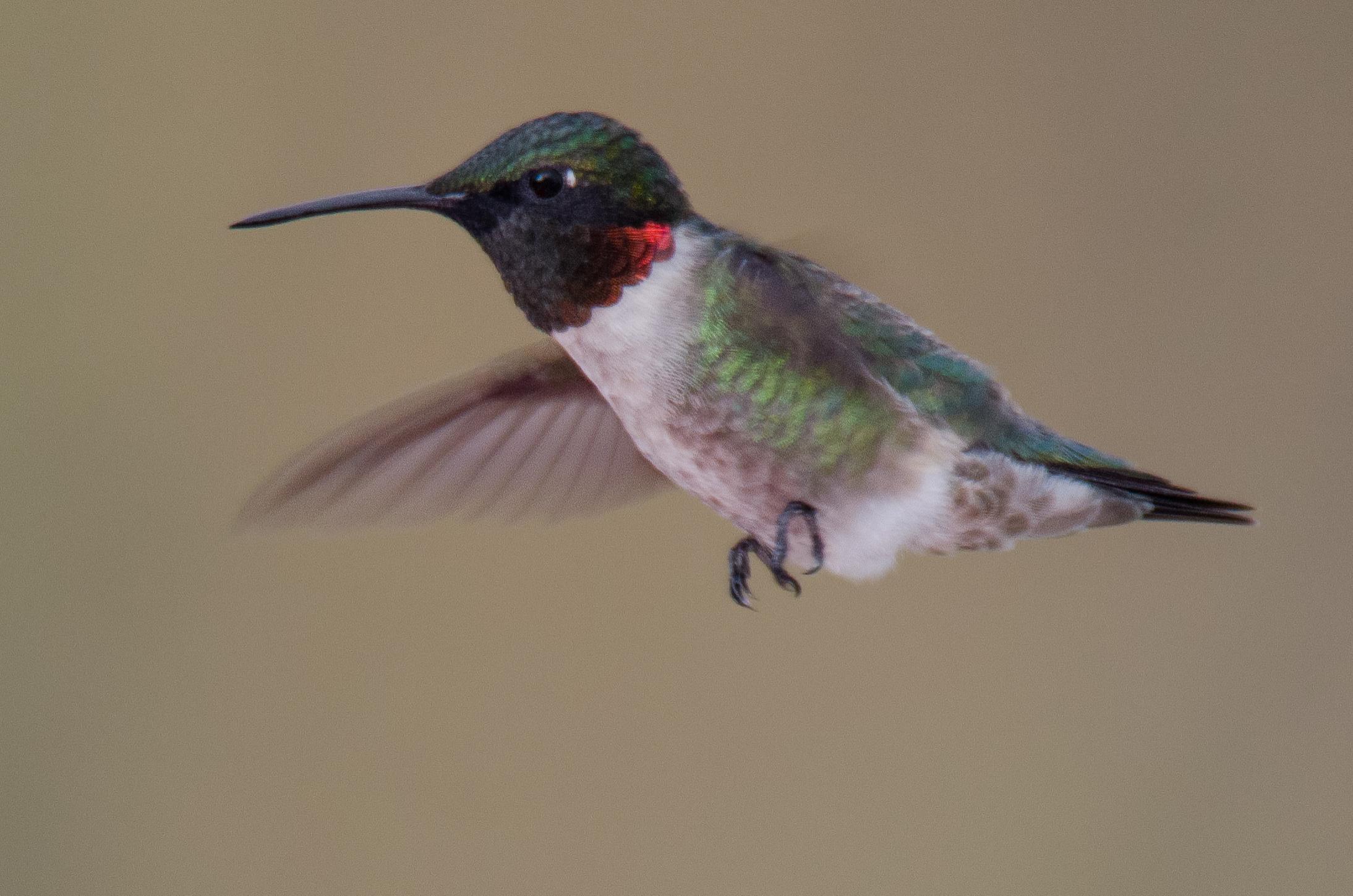 Ruby-Throated Hummingbird  Nikon D7000 ISO 400 600mm f/7.1 1/400 sec