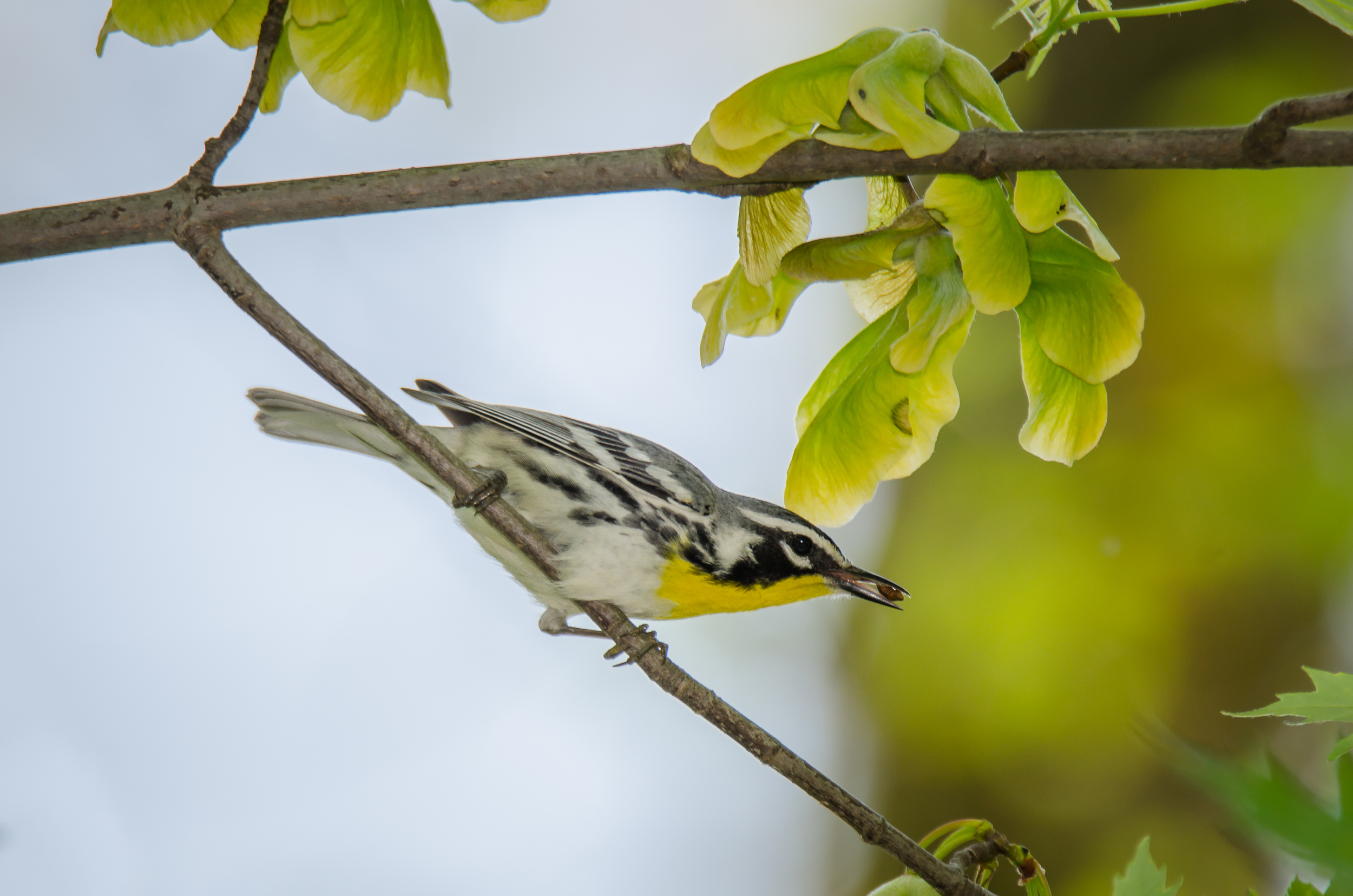 Yellow-Throated Warbler  Nikon D7000 ISO 125 600mm f/8.0 1/250 sec
