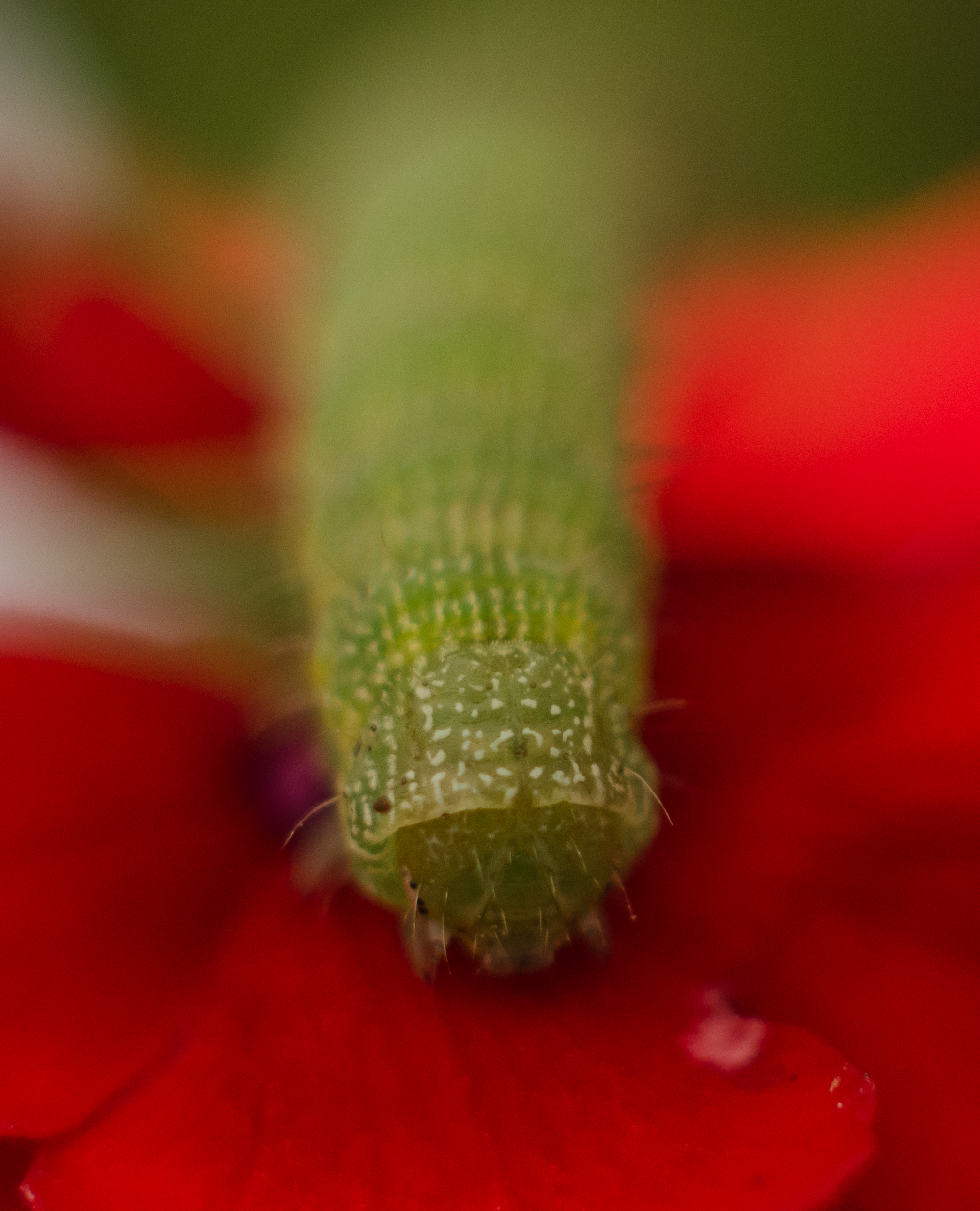 Caterpillar #2  Nikon D7000 ISO 400 50mm + 42mm extension f/22 1/2000 sec.