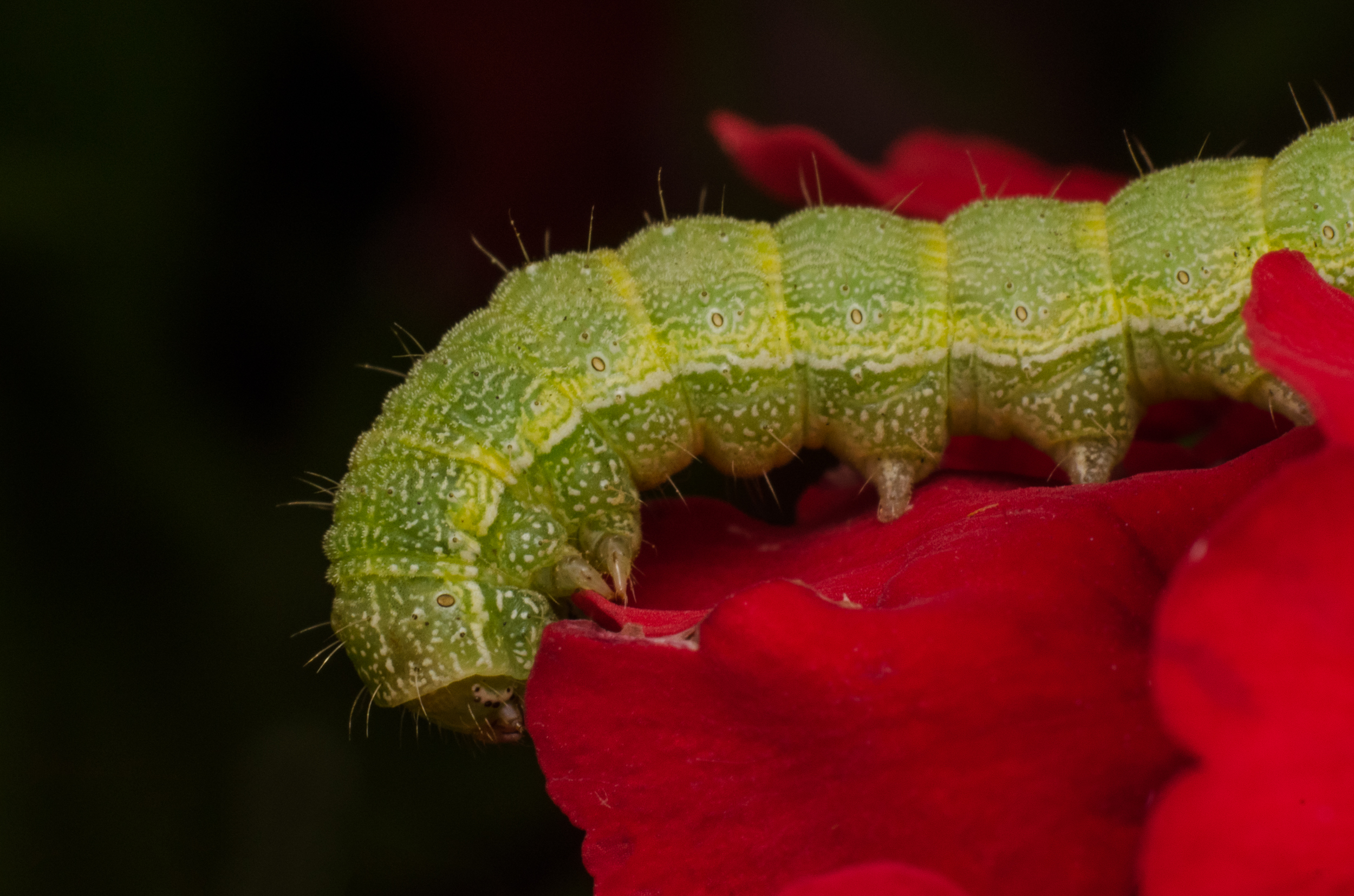 Caterpillar #3  Nikon D7000 ISO 400 50mm + 42mm extension  f/22 1/2500 sec.