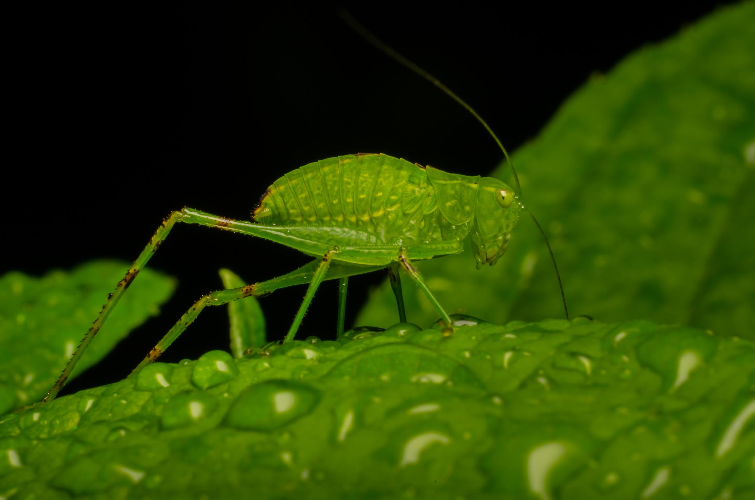 Katydid ( Tettigoniidae Famiy ) Nikon D7000 ISO 200 50mm f/11 1/250 sec.