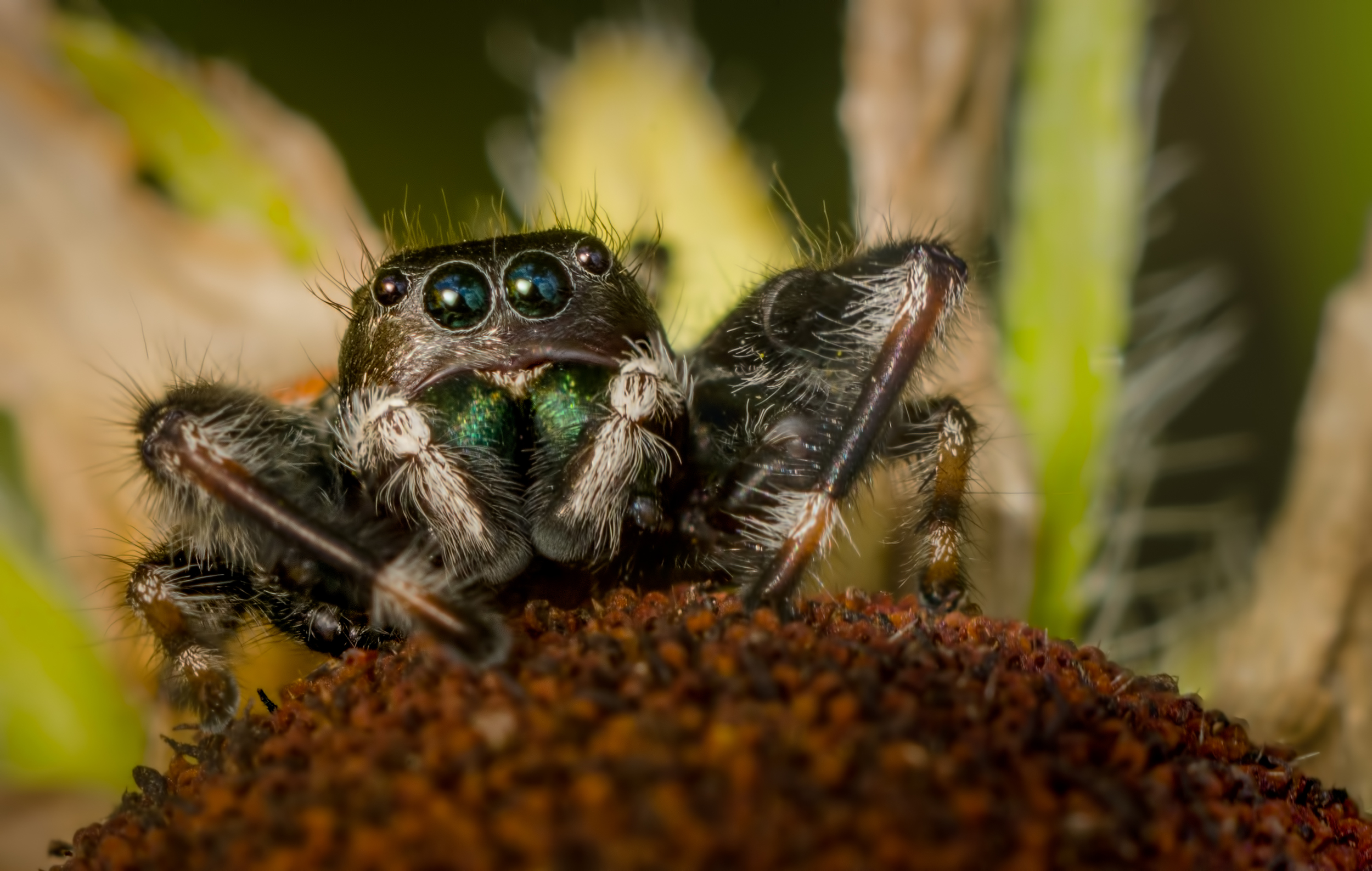Jumping Spider  Nikon D7000 ISO 400 1/250 sec.Nikkor 105mm f/4 Micro AI manual focus lens + 27mm + 20mm + 14mm + 12mm extension tubes, off-body flash with DIY snoot/diffuser