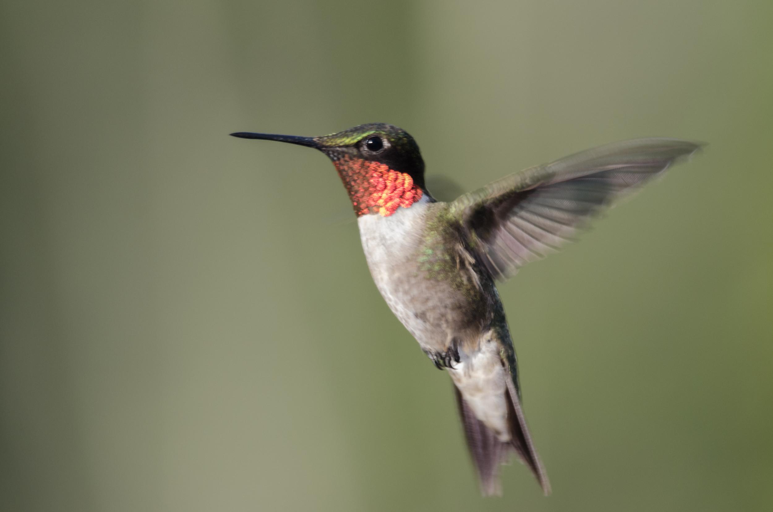 Male Hummingbird Nikon D7000 ISO 640 460mm f/6.3 1/250 sec. with a single off-camera flash