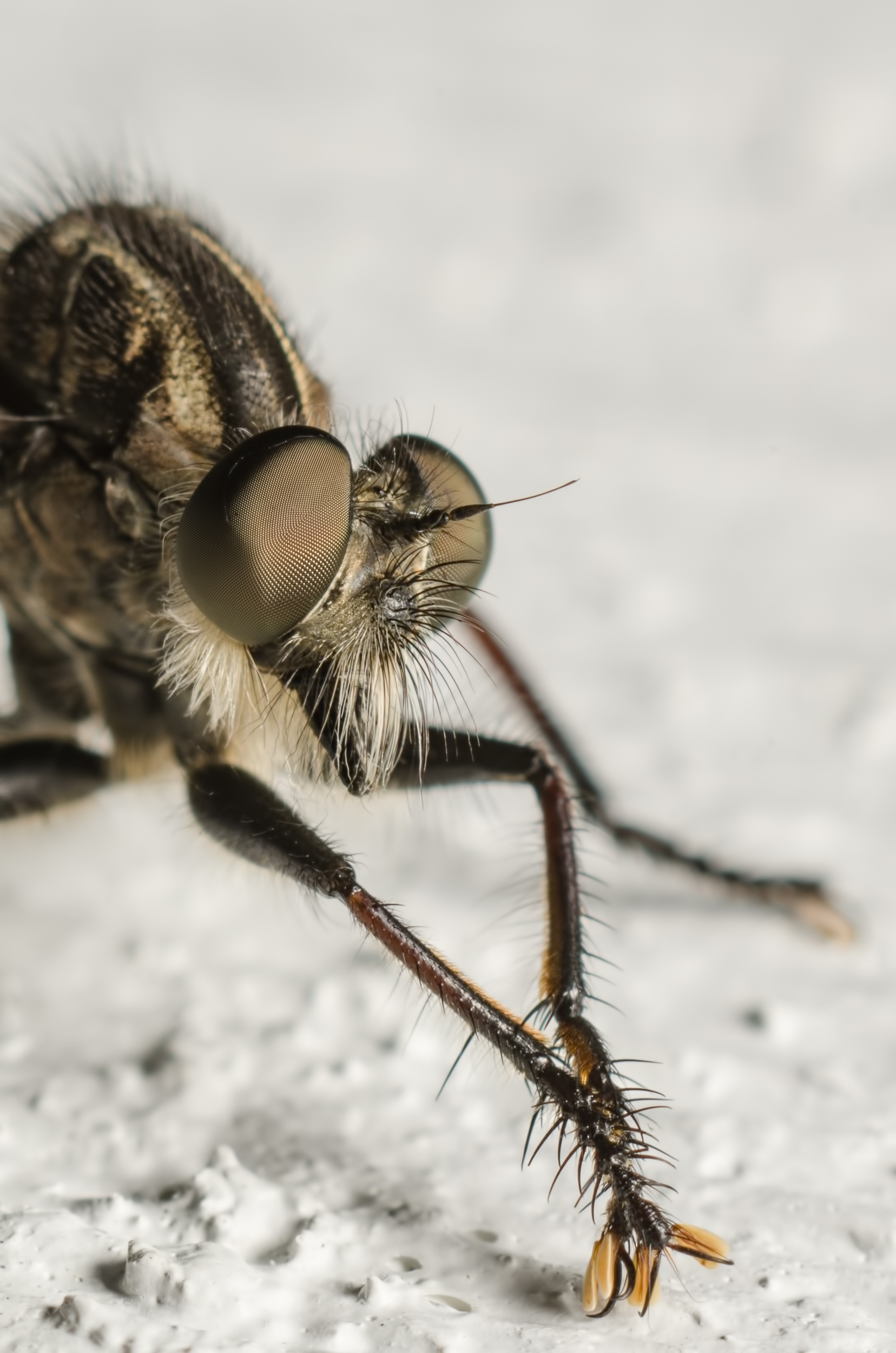 Robber Fly Nikon D7000 ISO 200f/11 1/125 sec.Nikkor 105mm f/4 Micro AI manual focus lens + 27mm + 20mm + 14mm + 12mm extension tubes, off-body flash with DIY snoot/diffuser
