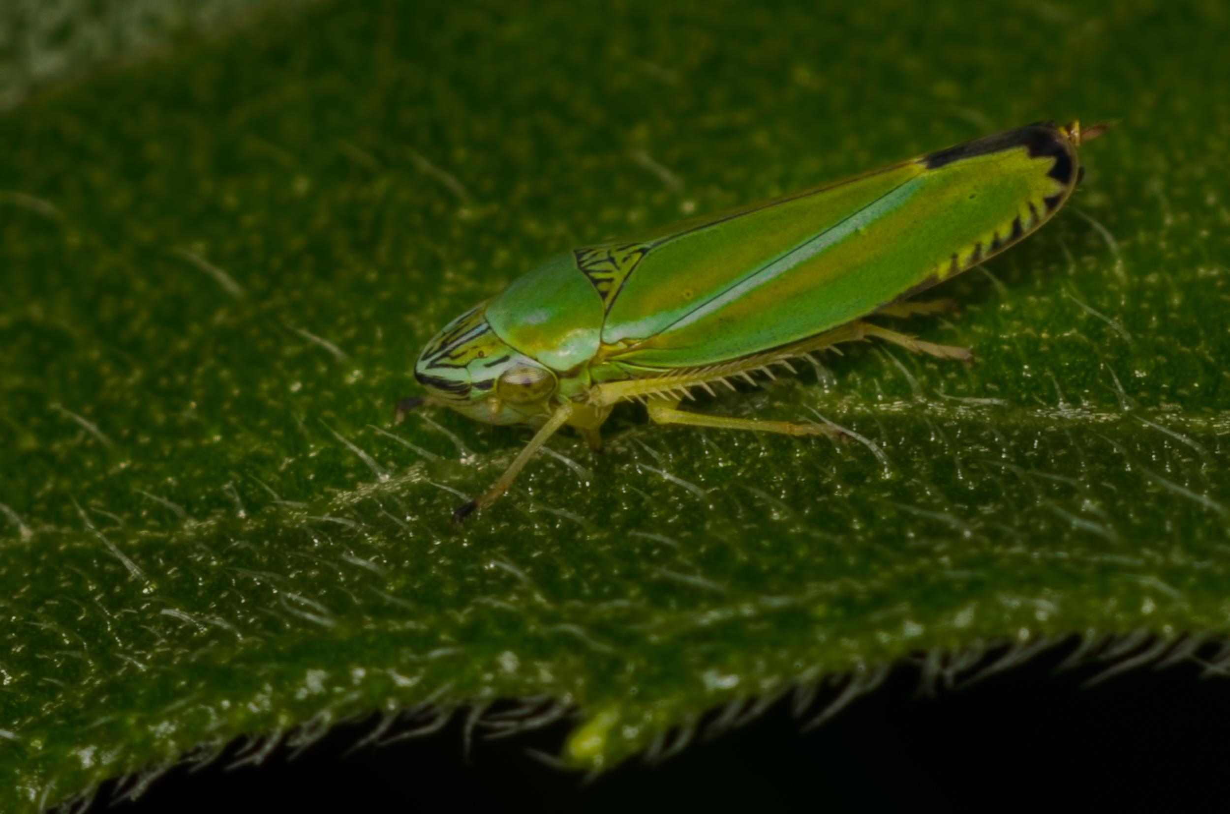 Leaf Hopper (   Graphocephala versuta)  Nikon D7000 ISO 200 f/11 1/125 sec. and Nikkor 105mm f/4 Micro AI manual focus lens + 27mm + 20mm + 14mm + 12mm extension tubes, off-body flash with DIY diffuser