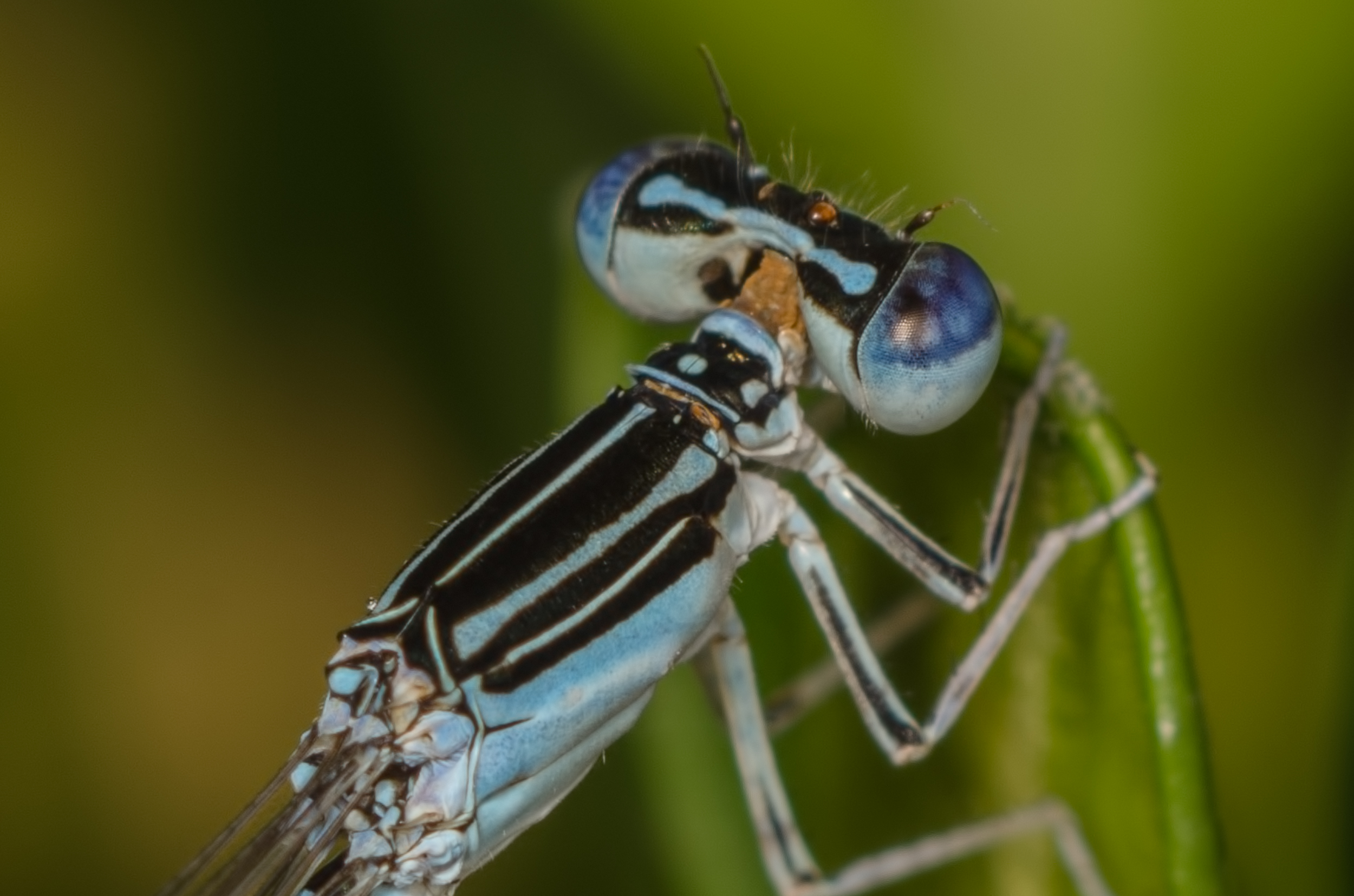 Bluetail Damselfly Nikon D7000 ISO 200 f/11 1/160 sec. and Nikkor 105mm f/4 Micro AI manual focus lens + 27mm + 20mm + 14mm + 12mm extension tubes, off-body flash with DIY snoot/diffuser