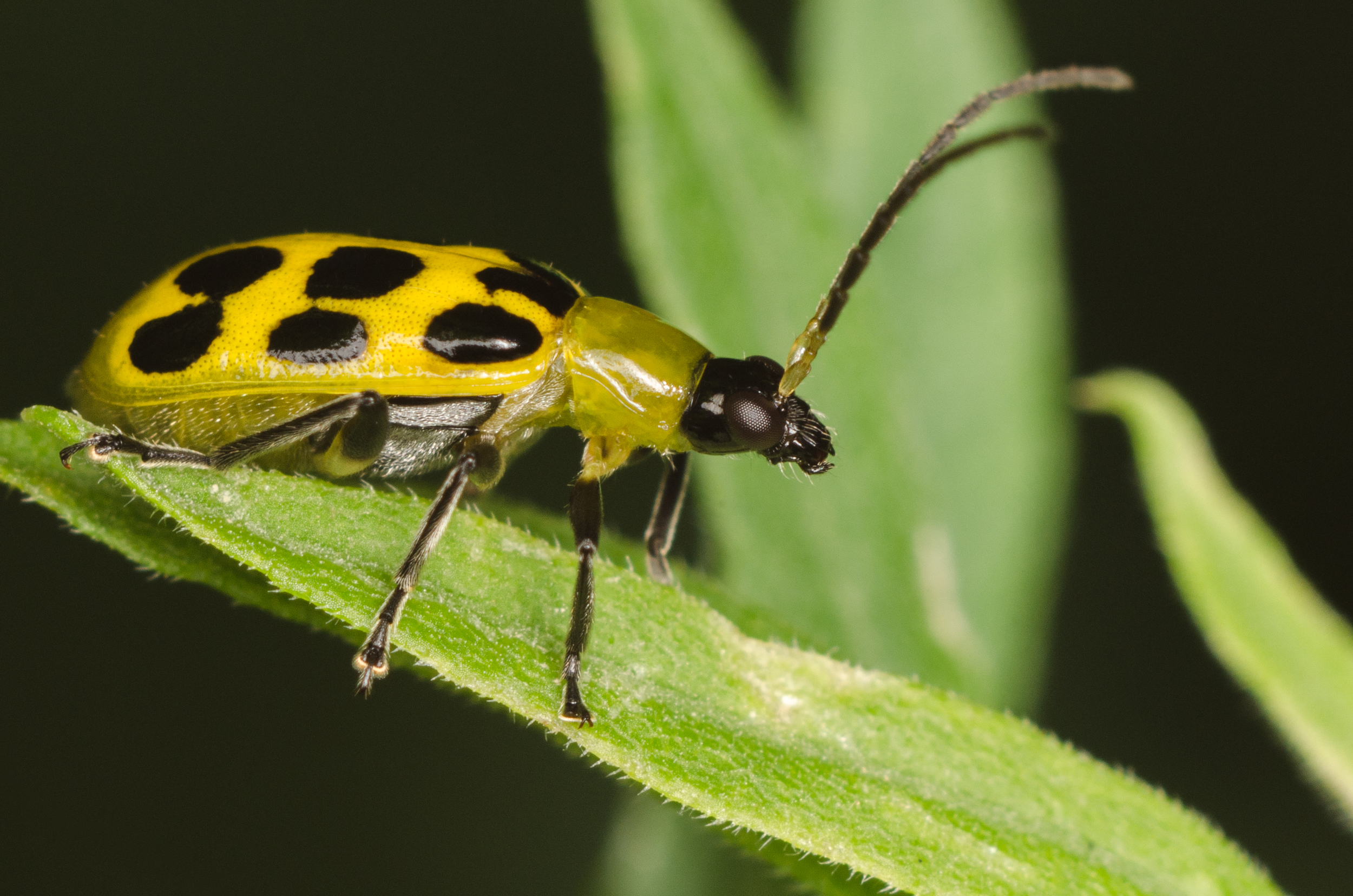 Spotted Cucumber Beetle - Diabrotica Undecimpunctata  Nikon D7000 ISO 200  f/11 1/125 sec. Nikkor 105mm f/4 Micro AI manual focus lens + 27mm + 20mm + 14mm + 12mm extension tubes, off-body flash with DIY diffuser
