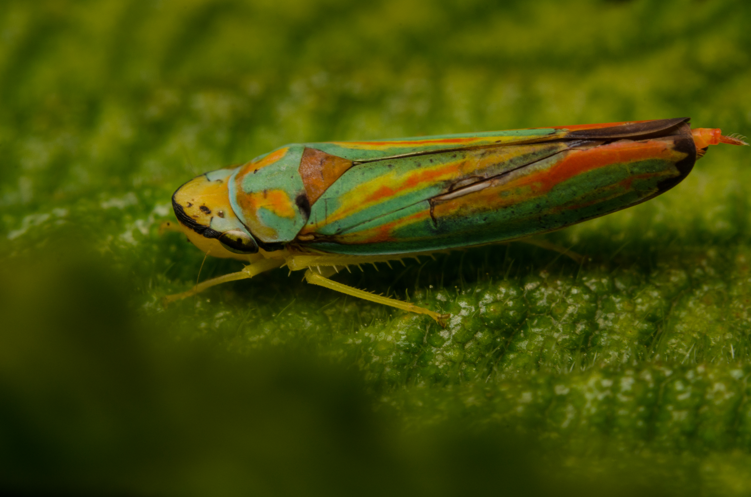 Scarlet and Green Leafhopper Nikon D7000 ISO 200 f/11 1/125 sec. sec. Nikkor 50mm f/1.4 reversed with BR-2 Reversing Ring plus two PK-3 27mm extension tubes, off-camera flash with modified soft box.