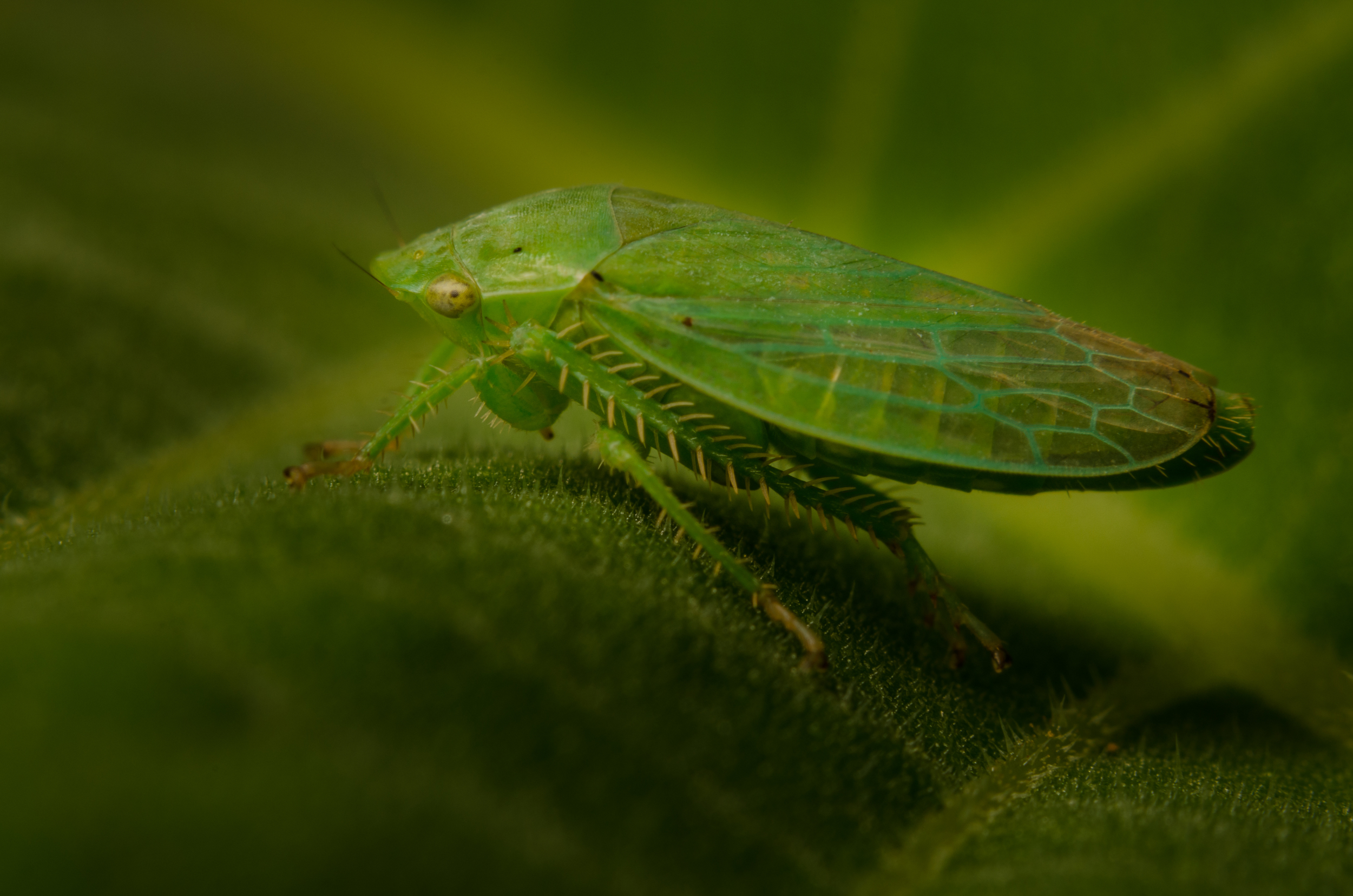 Leafhopper  Nikon D7000 ISO 200 f/11 1/200 sec. sec. Nikkor 50mm f/1.4 reversed with BR-2 Reversing Ring plus PK-3 27.5mm extension tubes, off-camera flash with modified soft box.