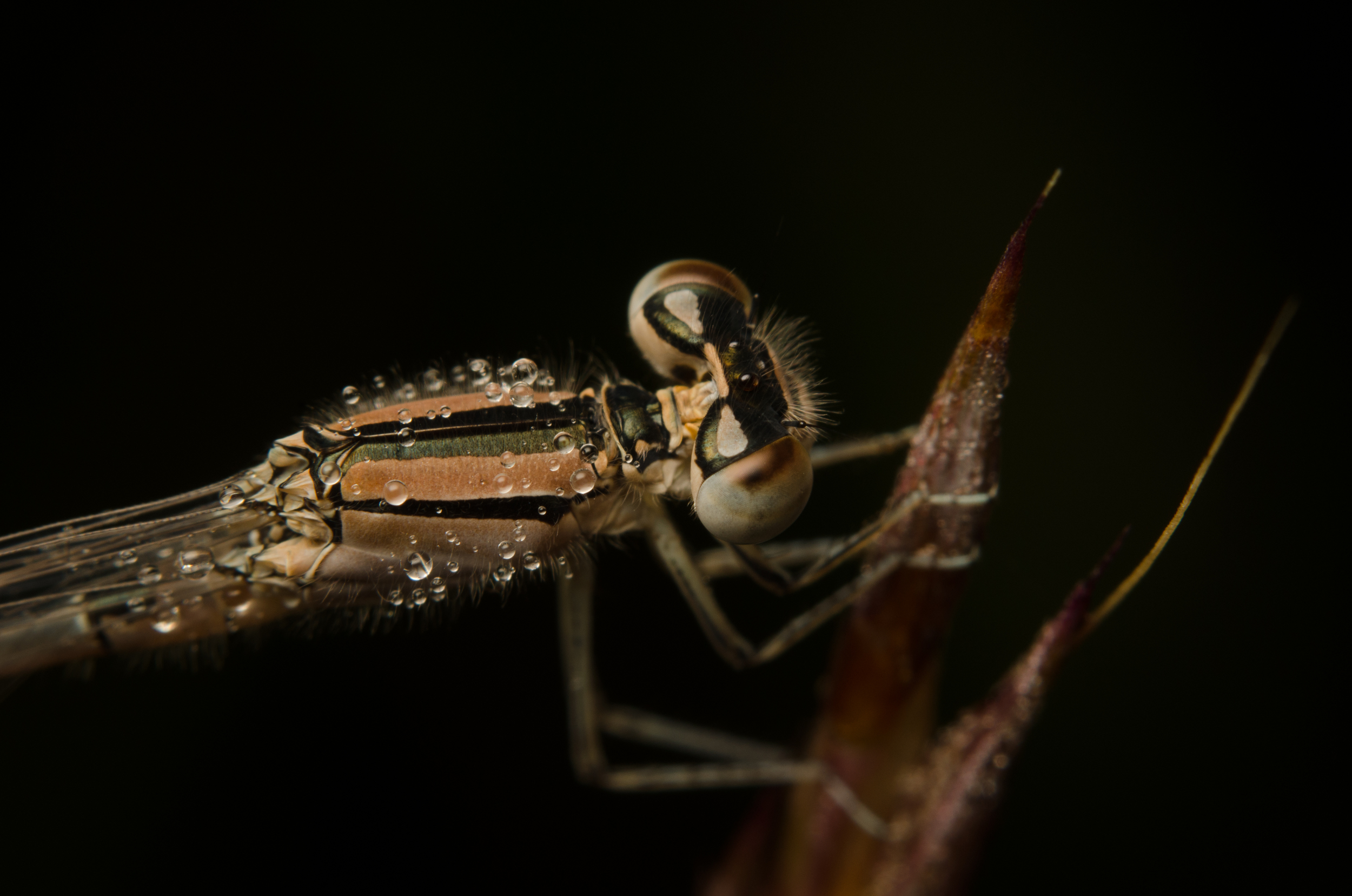 Damselfly  Nikon D7000 ISO 200 f/11 1/200 sec. sec. Nikkor 50mm f/1.4 reversed with BR-2 Reversing Ring plus PK-3 27mm extension tubes, off-camera flash with modified soft box. Single image
