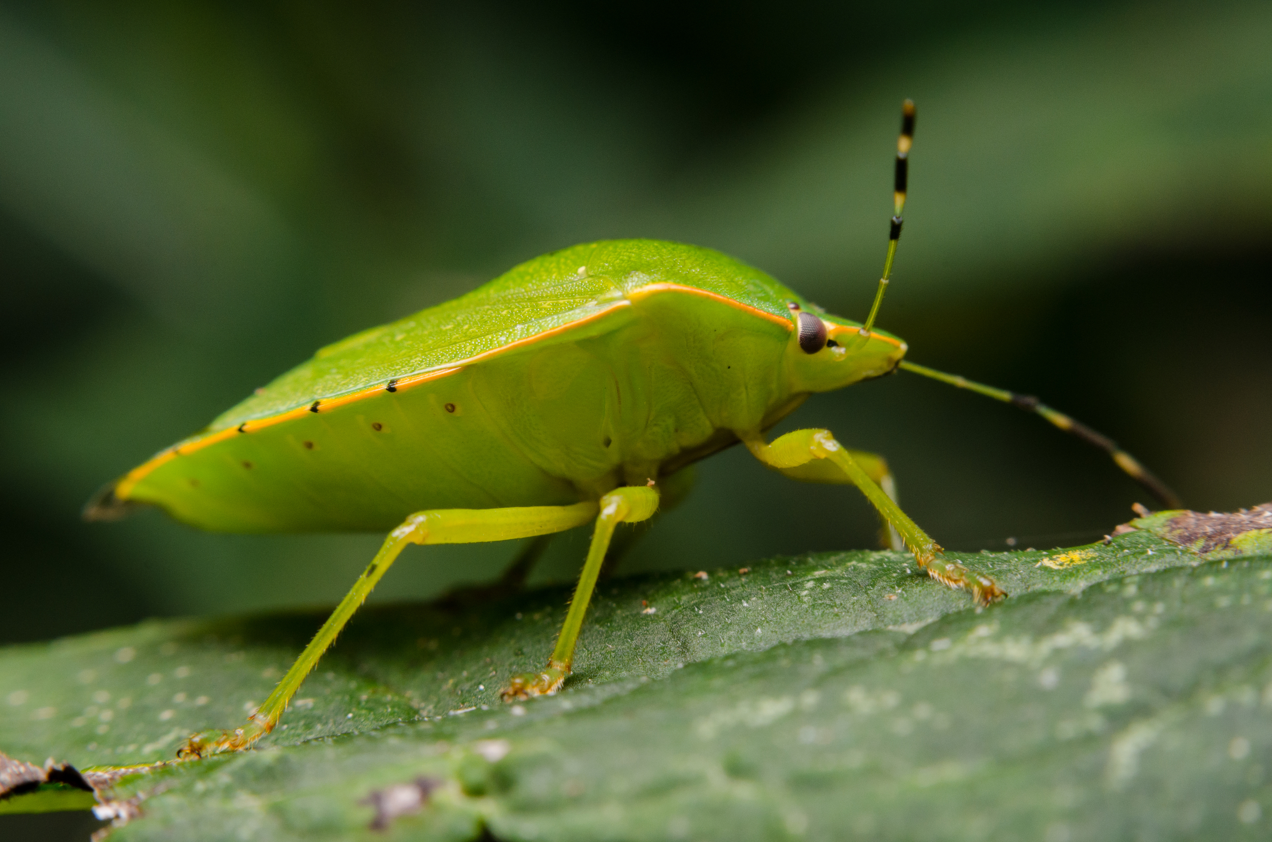 Green Shield (or Stink) Bug -Chinavia Hilaris Nikon D7000 ISO 320 f/11 1/80 sec. sec. Nikkor 50mm f/1.4 reversed with BR-2 Reversing Ring plus a PK-3 27mm extension tube, off-camera flash with modified soft box.