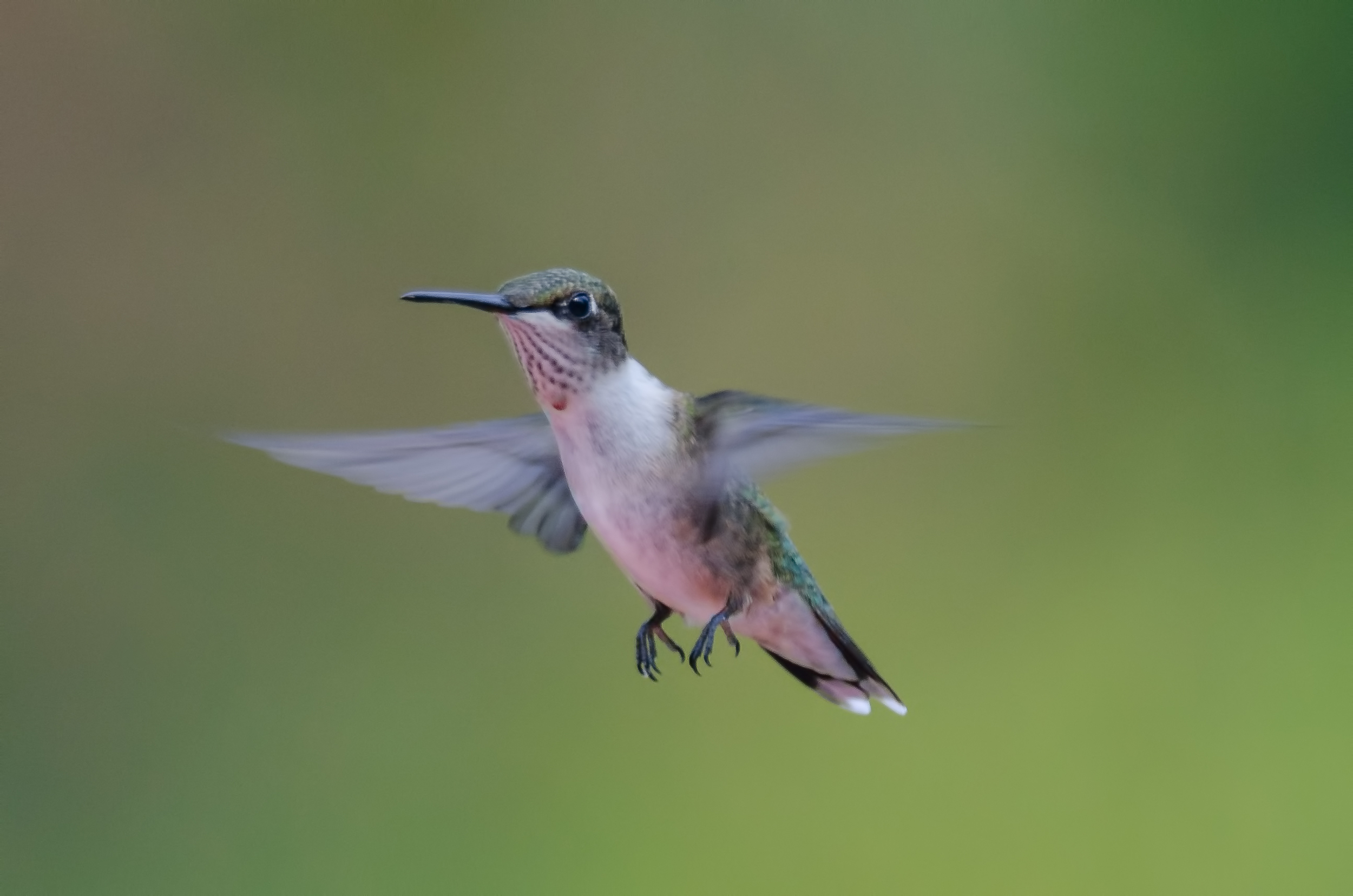Ruby-Throated Hummingbird  Nikon D7000 ISO 400 500mm f/8.0 1/500 sec.