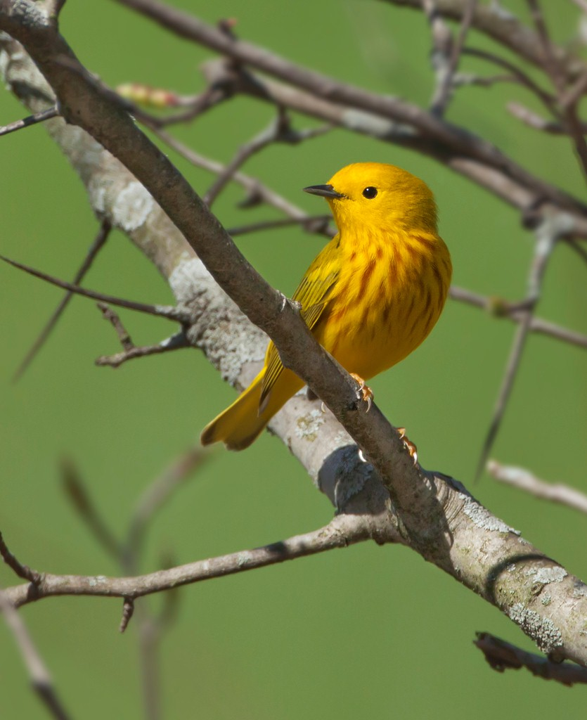 Stefan Minnig - Yellow Warbler