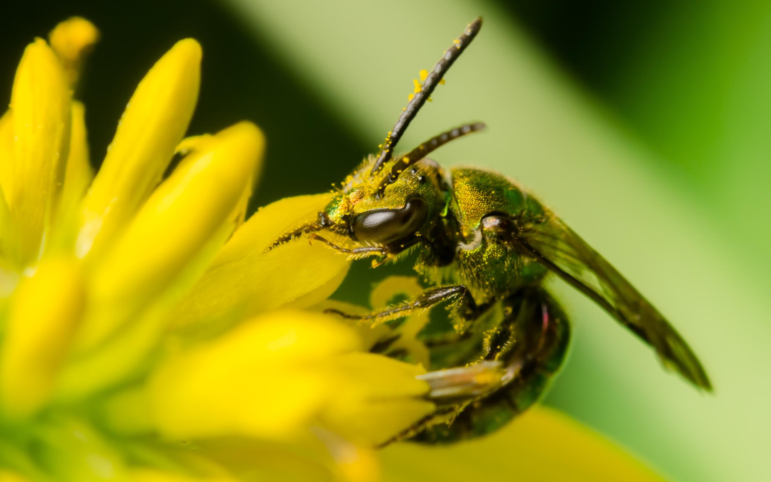 Pure Green Augochlora Bee