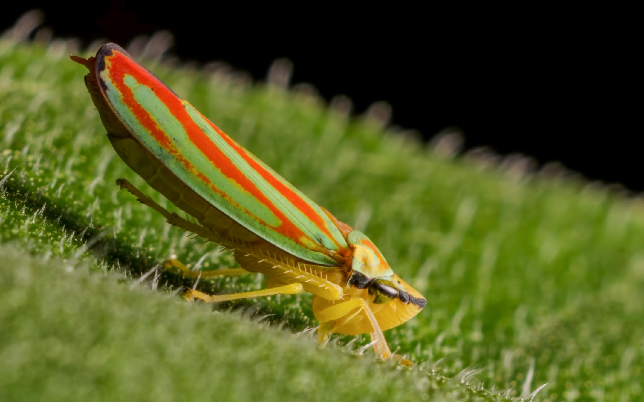 Scarlet & Green Leafhopper