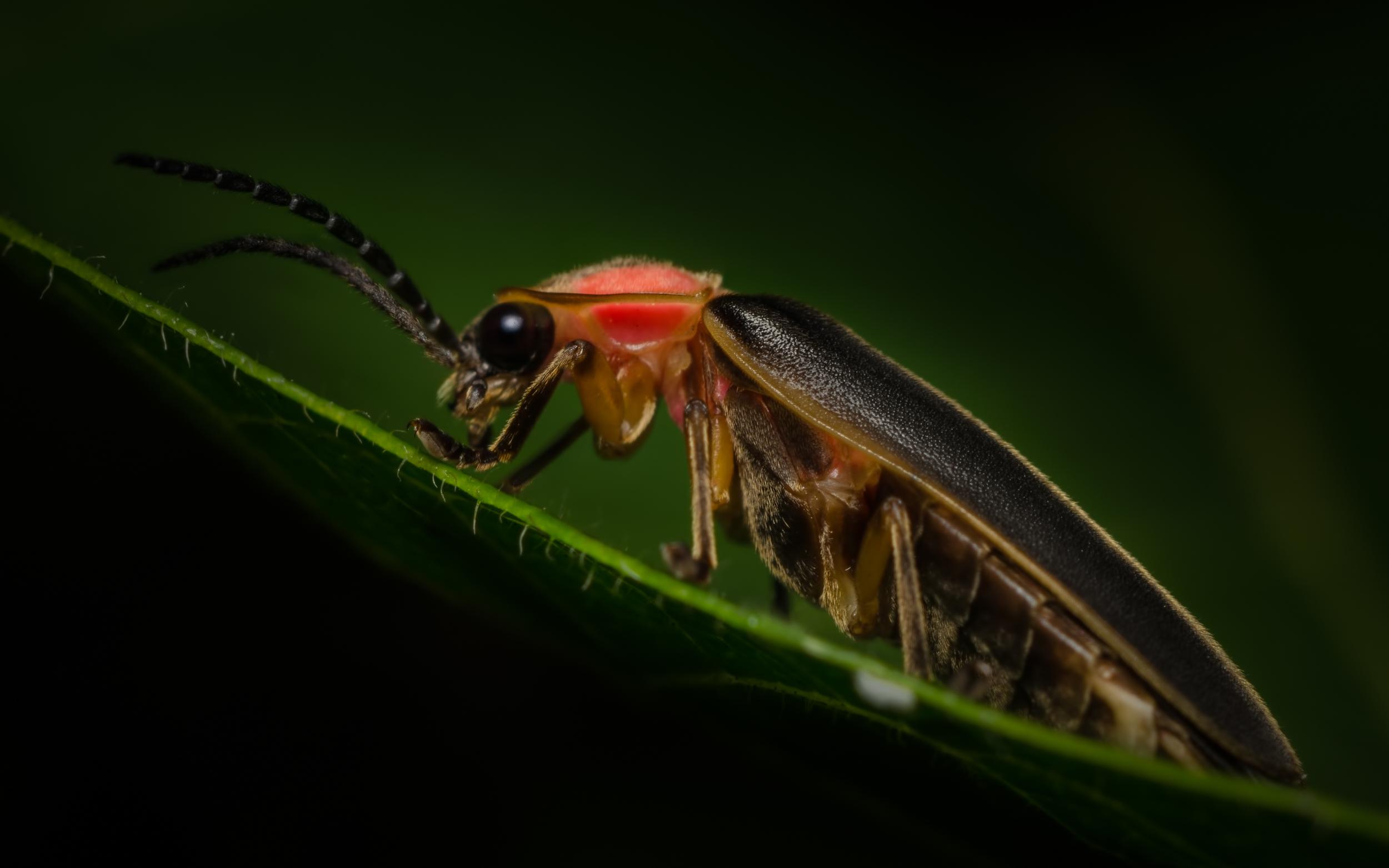 Lampyridae (Firefly)