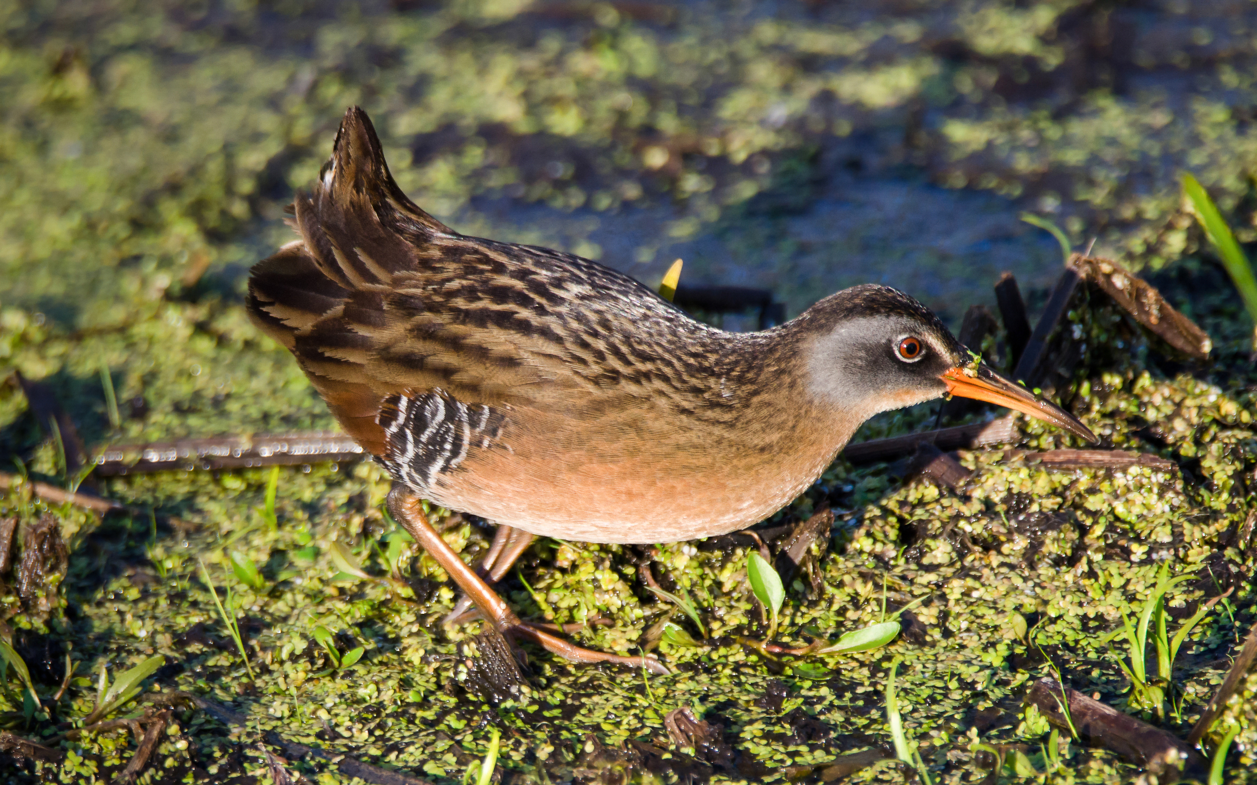 Virginia Rail Nº 2