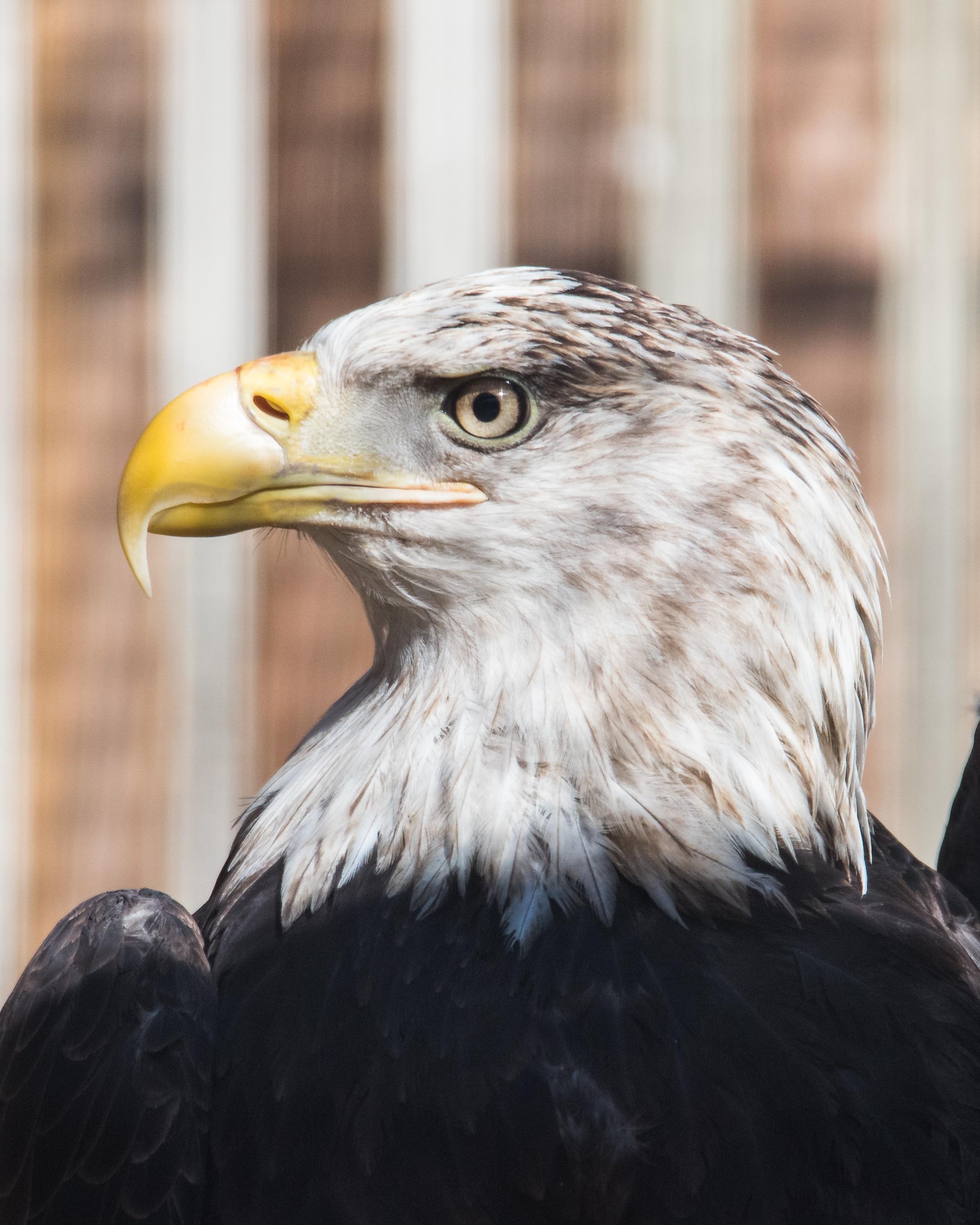 American Bald Eagle Nikon D750 ISO 1250 600mm f/8.0 1/1250 sec.