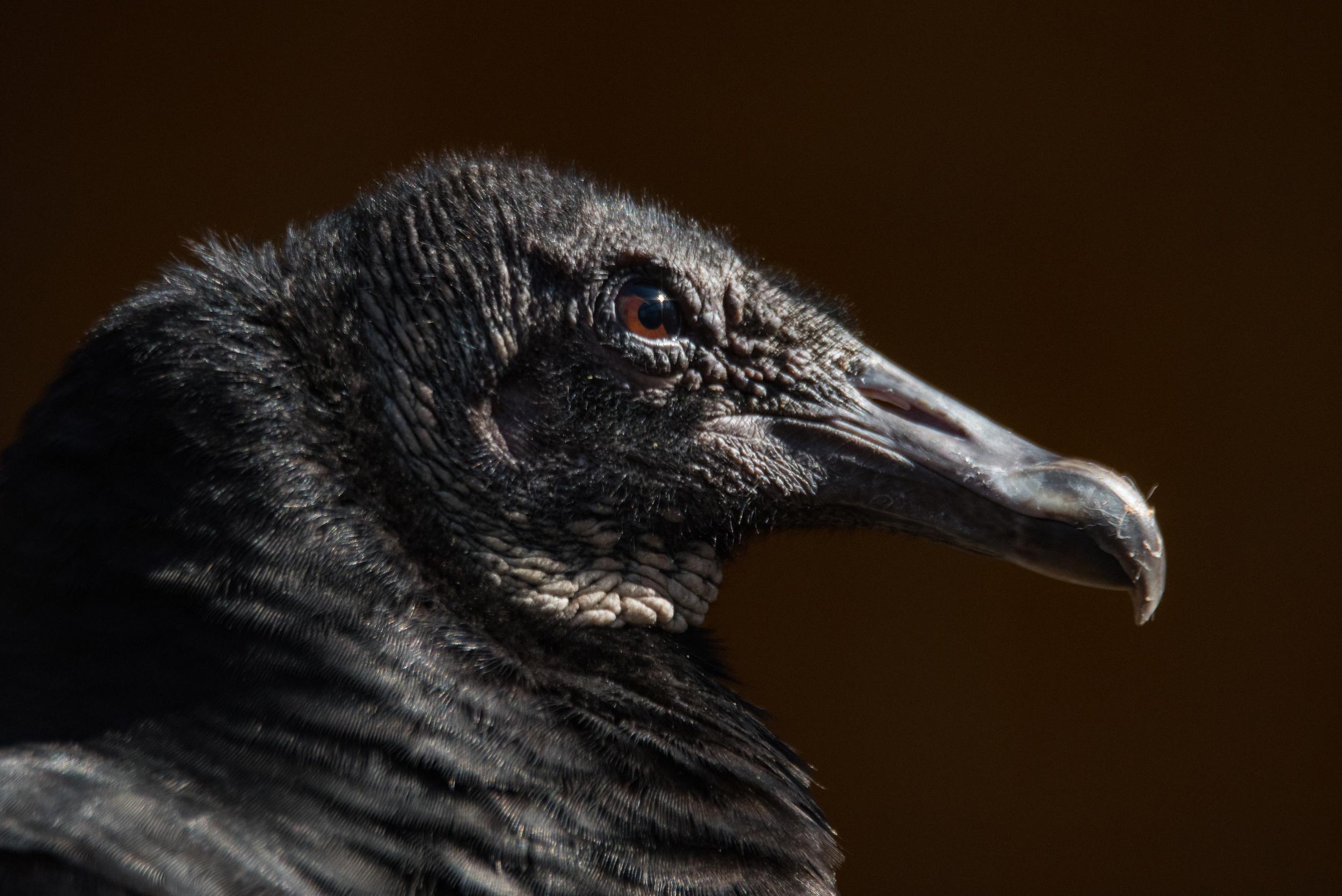 Black Vulture Nikon D750 ISO 1250 600mm f/8.0 1/800 sec.