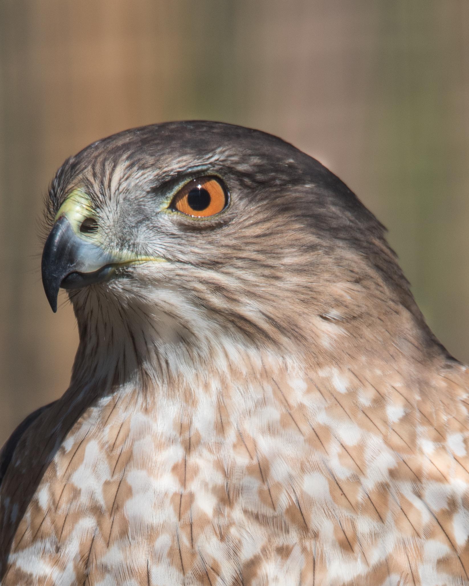 Captive Cooper's Hawk  ISO 250 500mm f/11 1/320 sec.