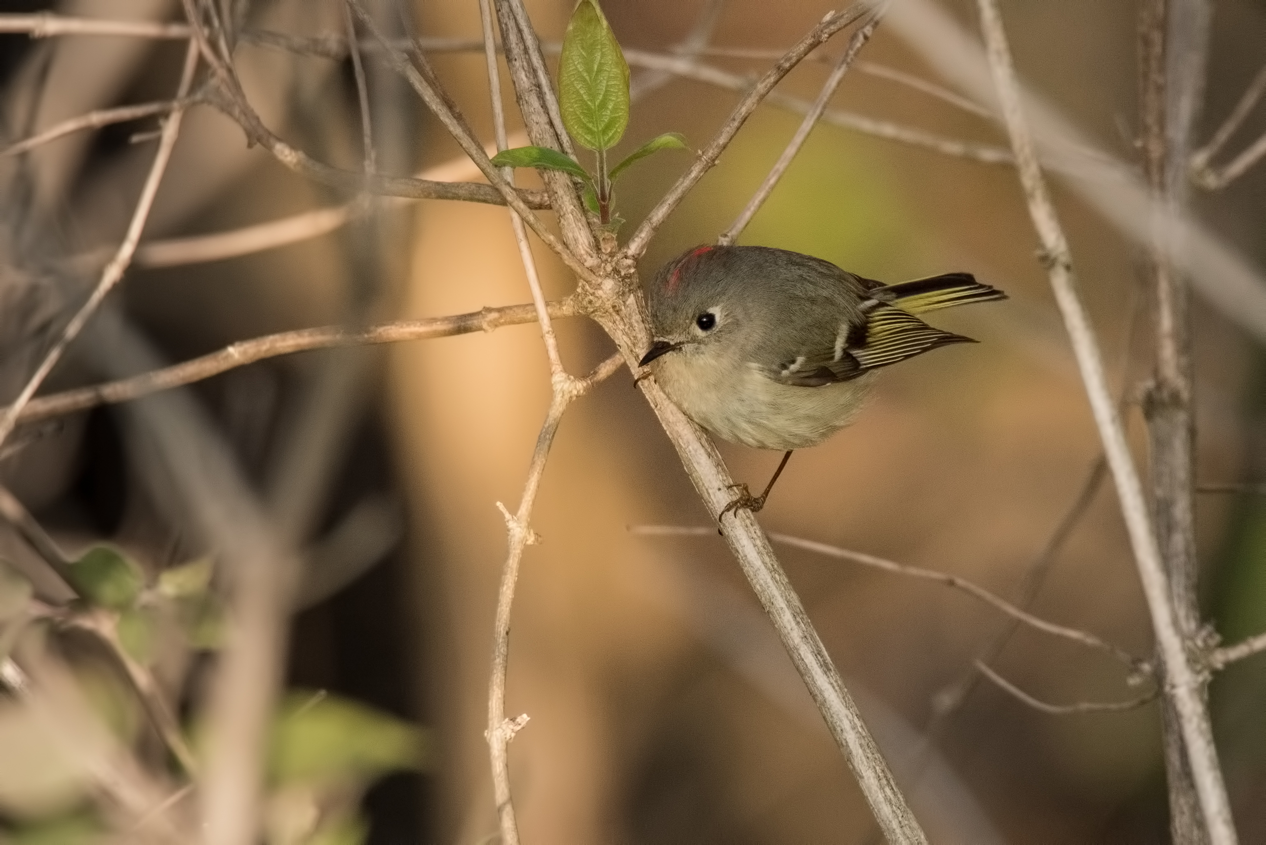 Ruby-Crowned Kinglet  Nikon D750 ISO 800 600mm f/10 1/1000 sec.