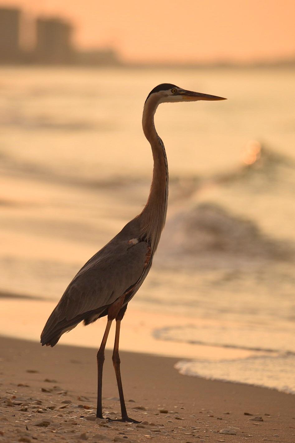 Sunrise Great Blue Heron
