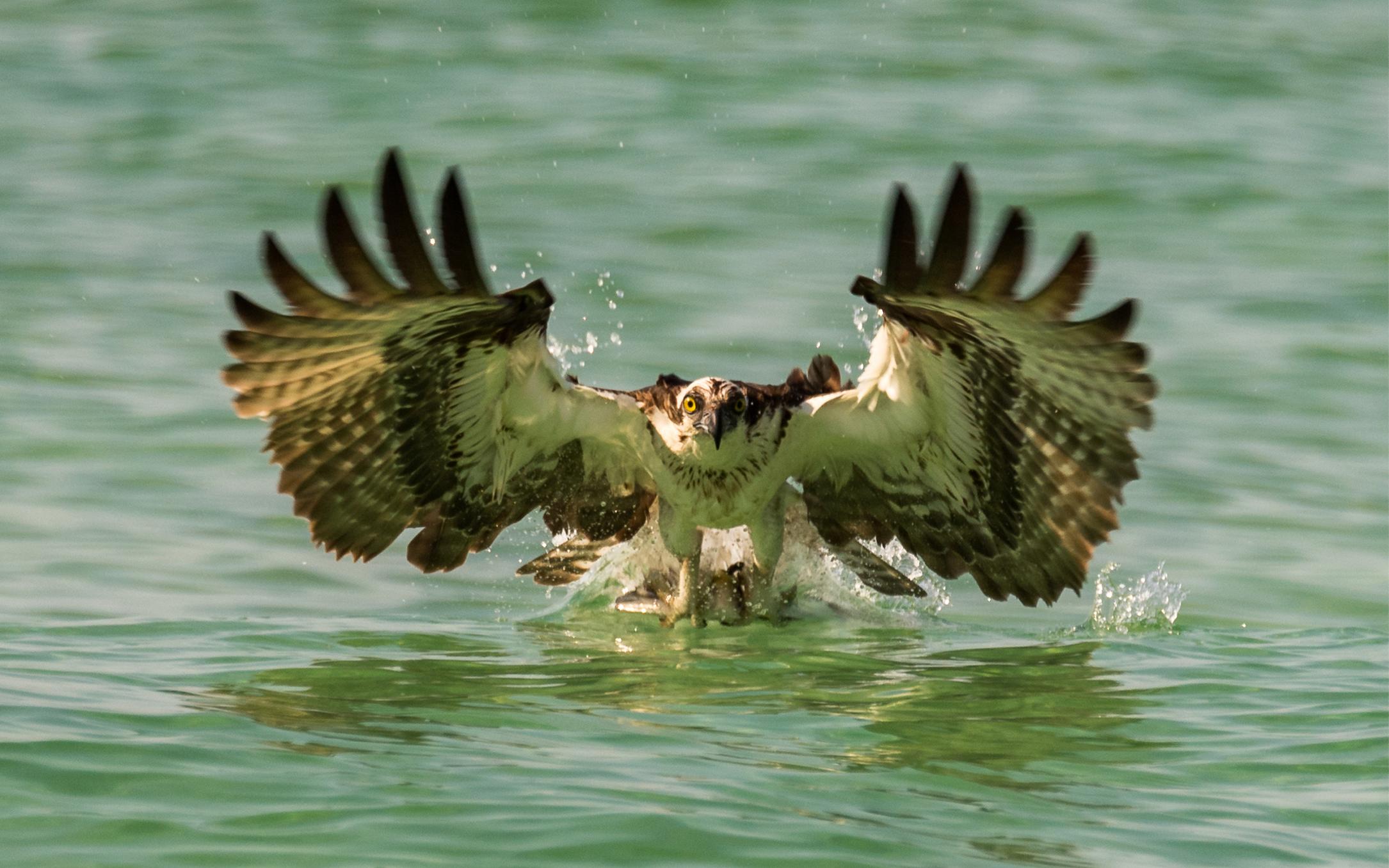 Osprey Strikes Ladyfish