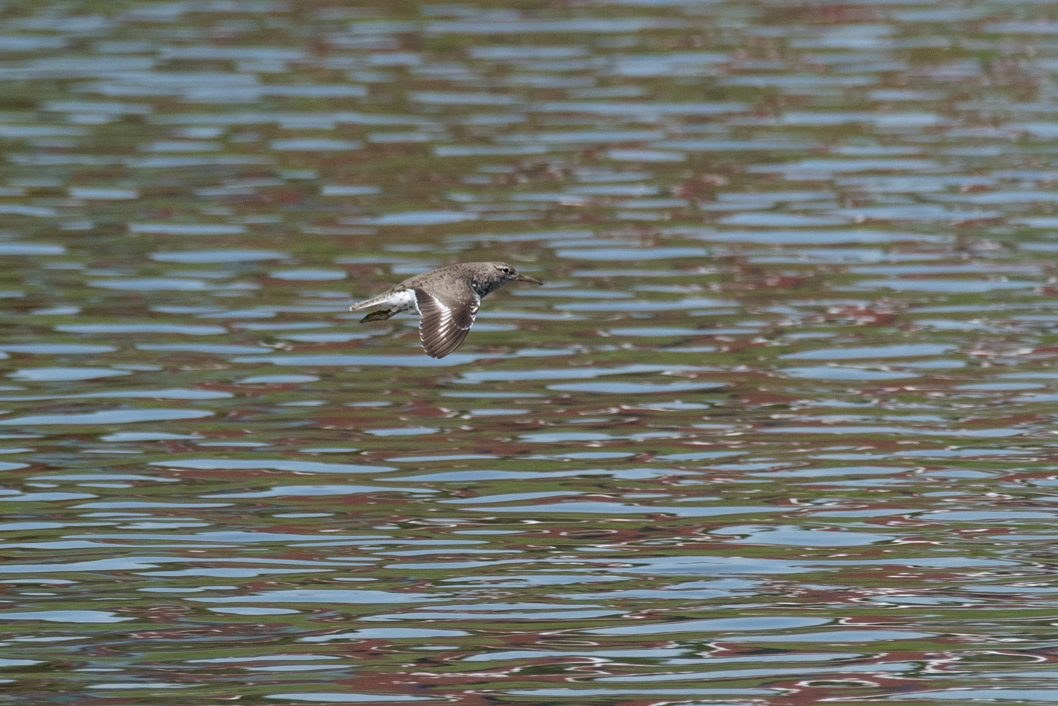 Spotted Sandpiper -Deeds Point