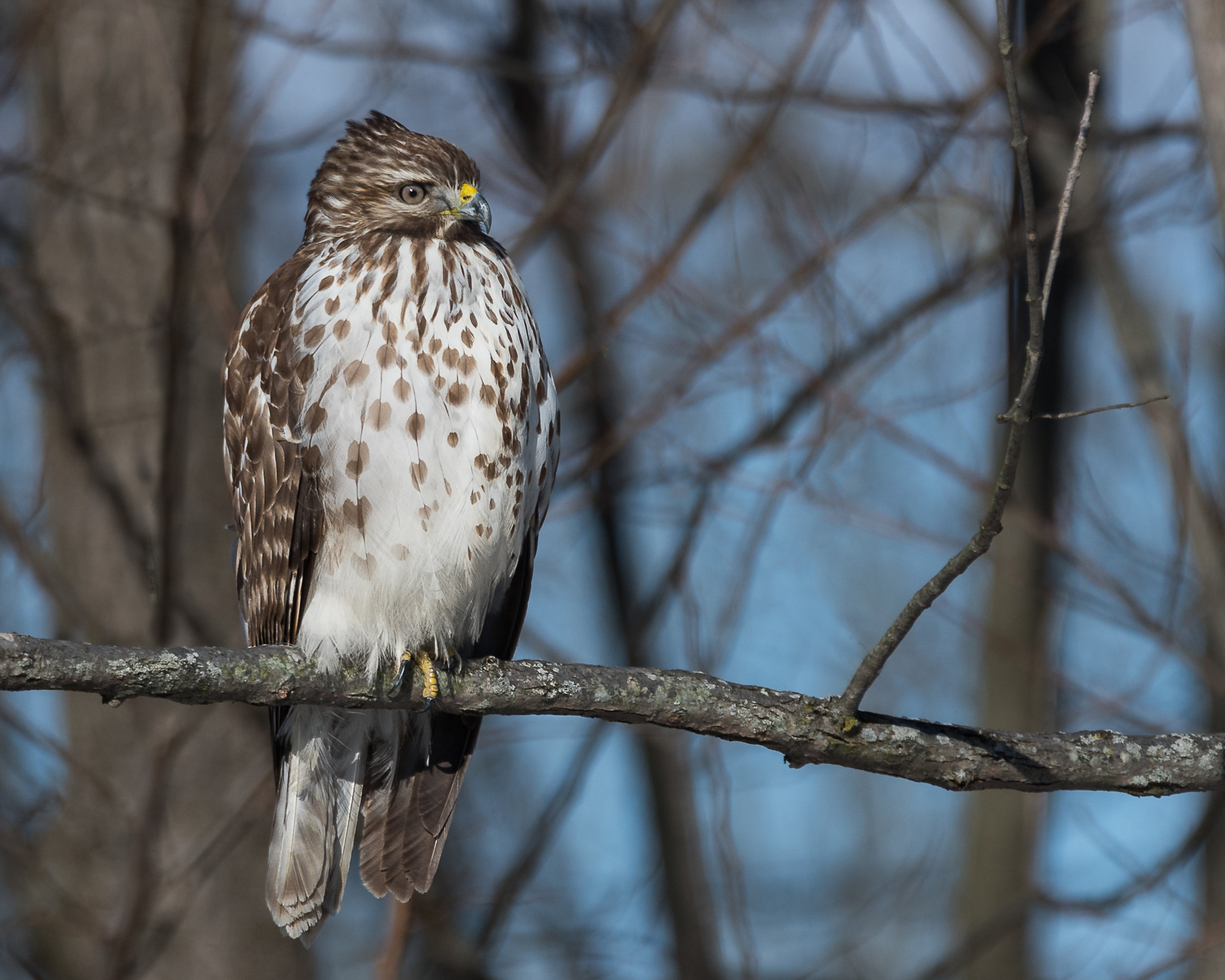 Red-Shouldered Hawk Visits the House