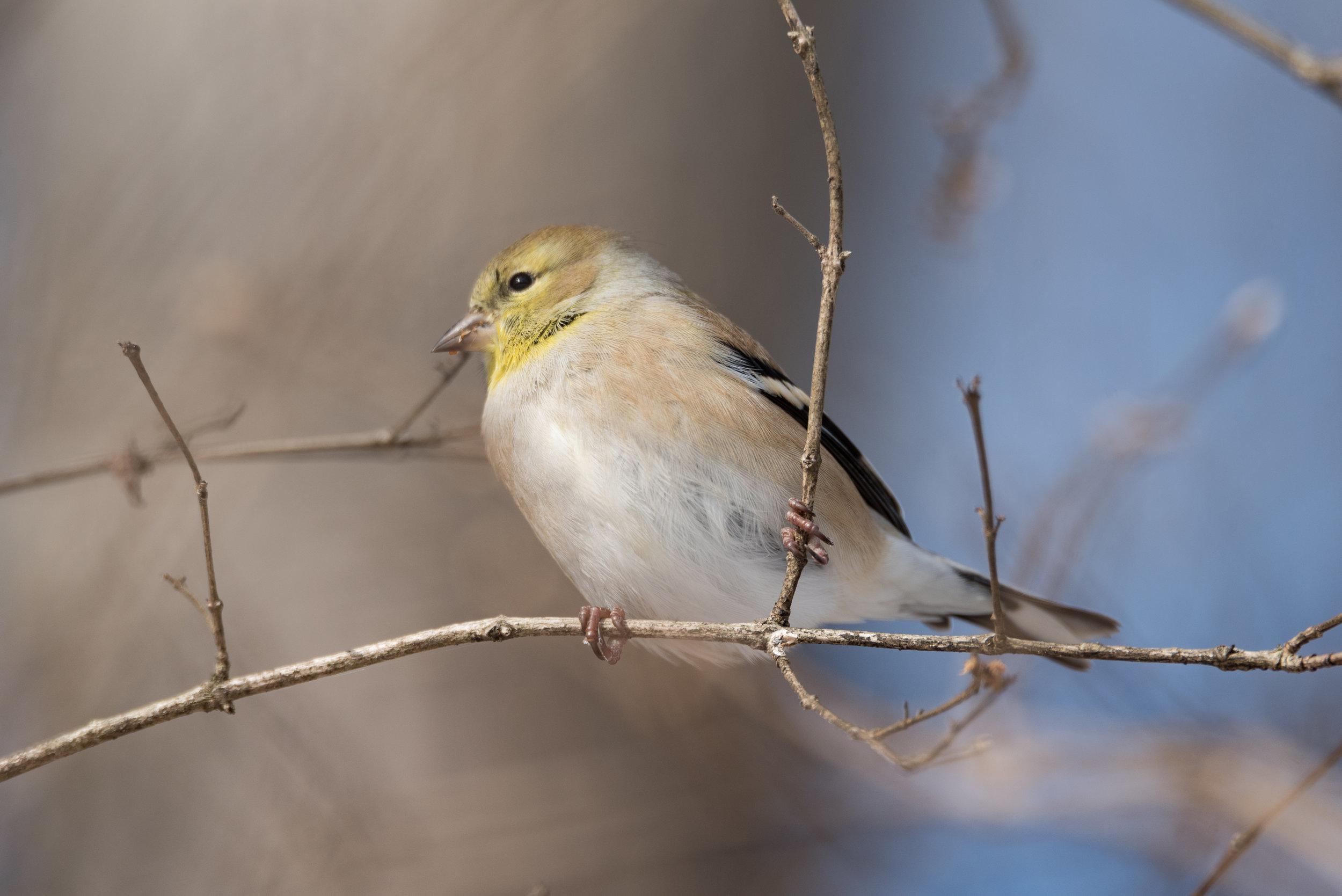 Goldfinch Enjoying Berries