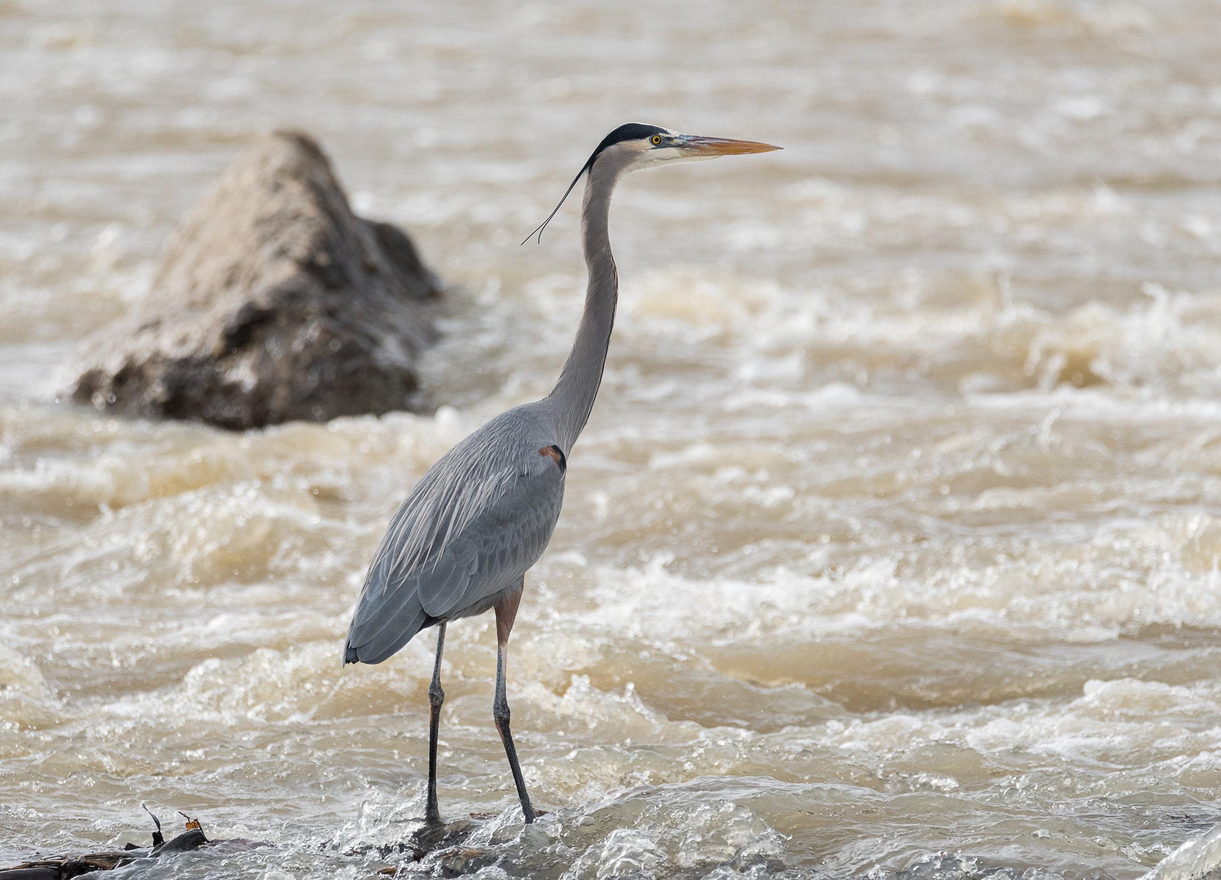 Great Blue Heron in Rapids