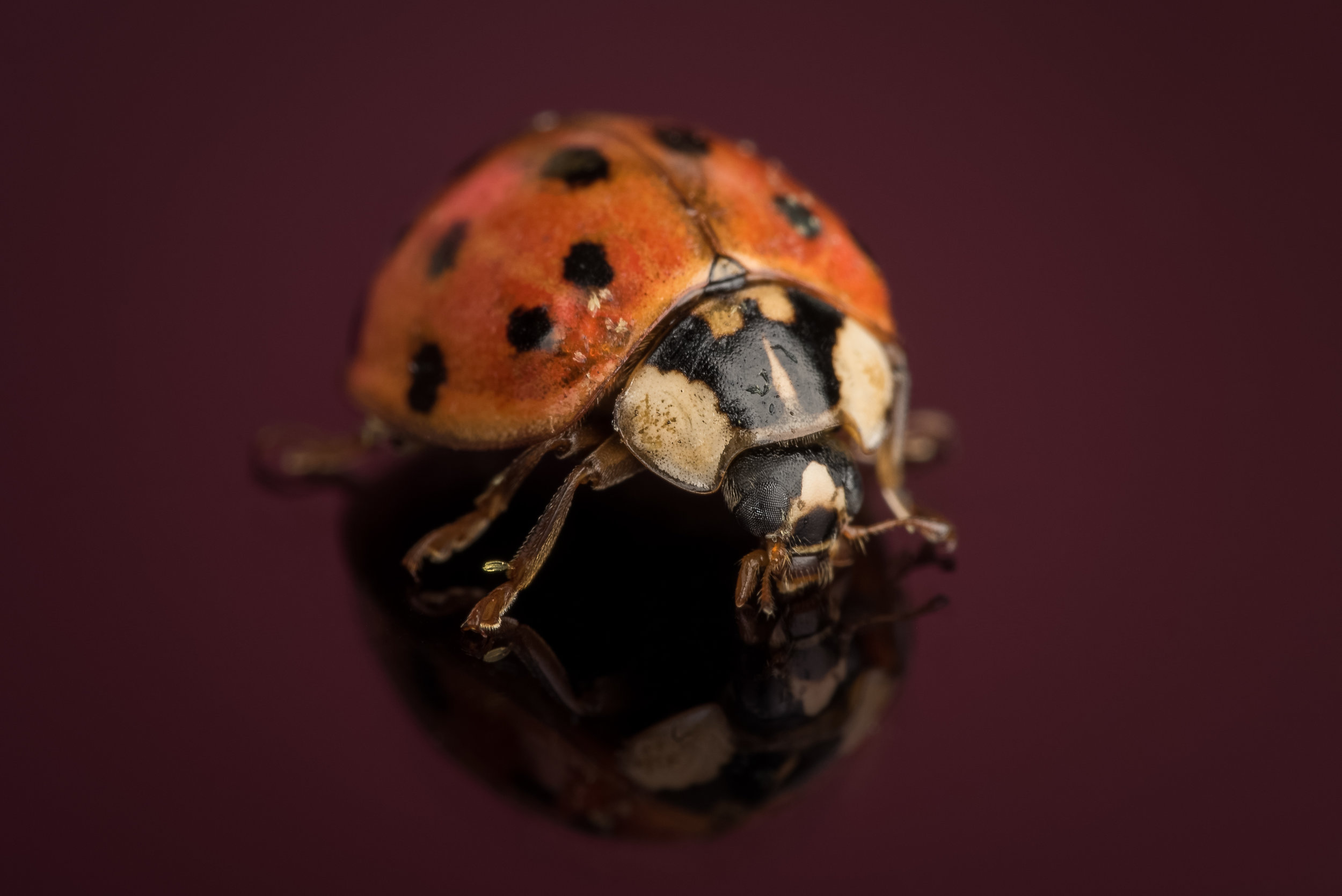 Multicolored Asian Lady Beetle - Nikon D750 Tamron SP 90mm ISO 100 90mm f/32 1/250 sec