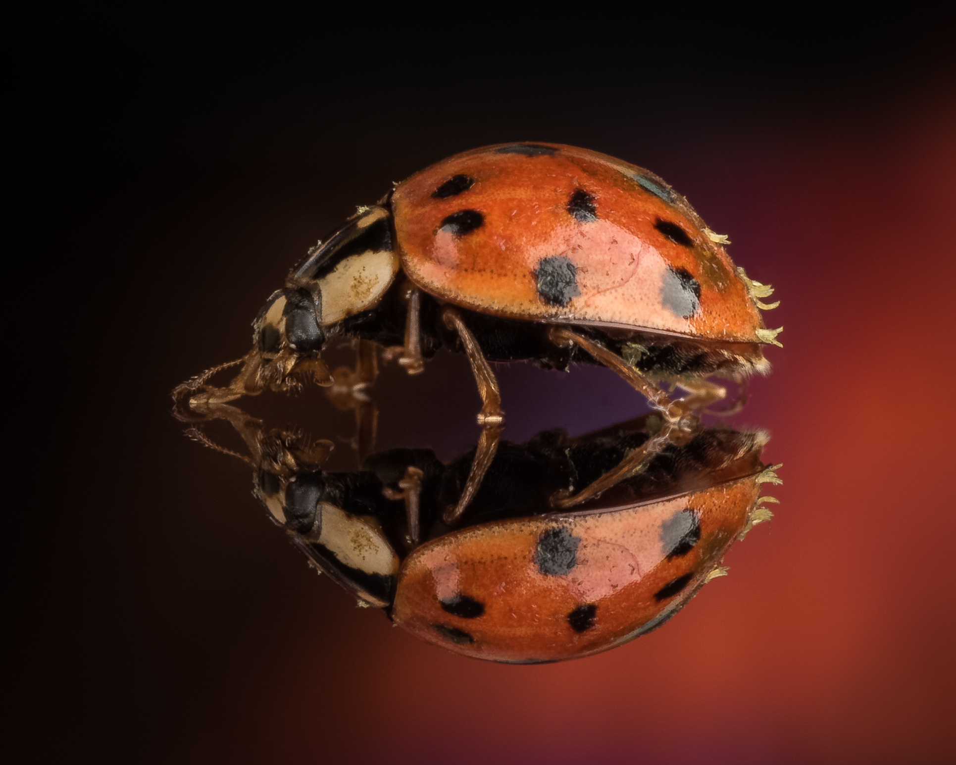 Multicolored Asian Lady Beetle  - Nikon D750 Tamron SP 90mm ISO 100 90mm f/36 1/250 sec