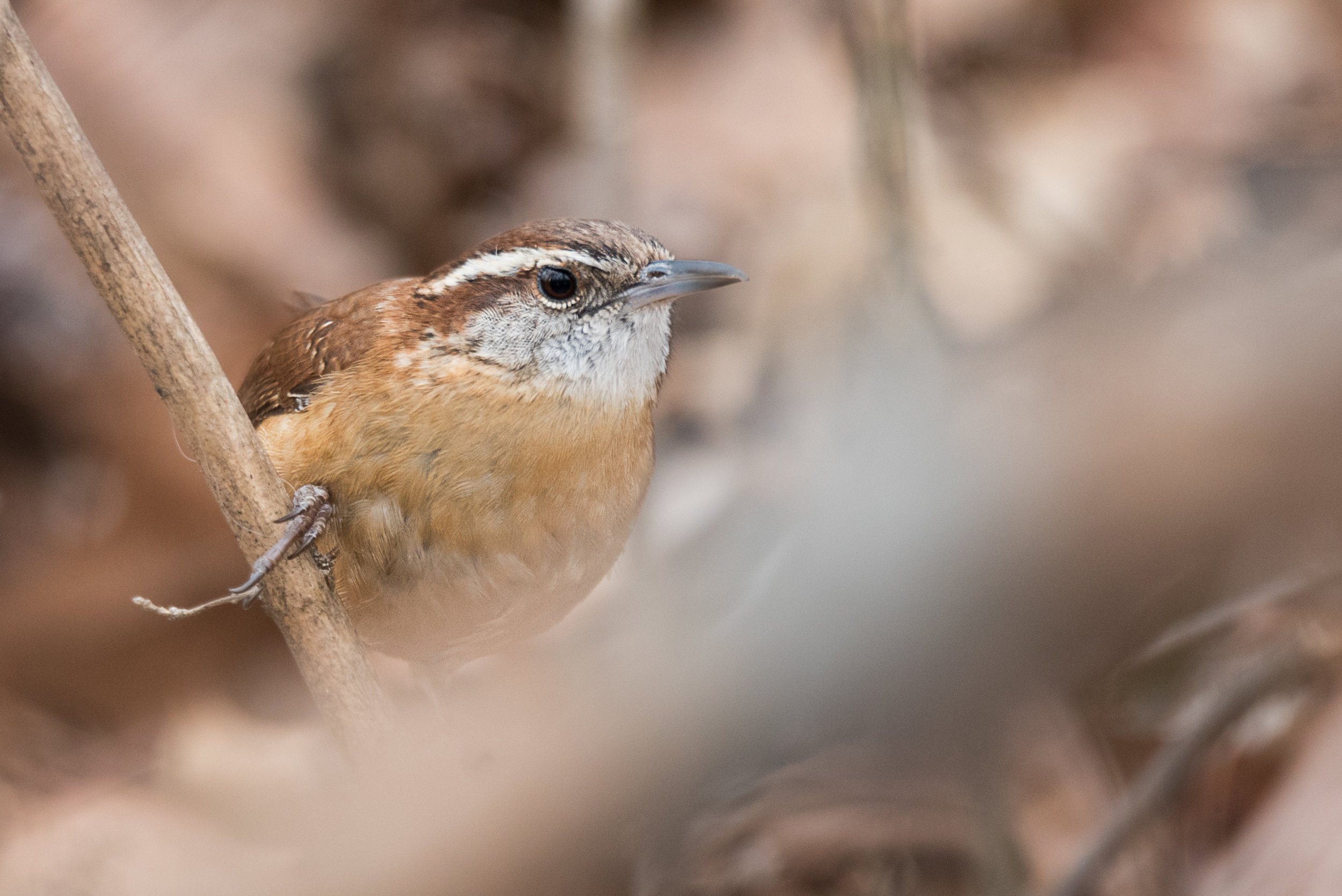 Carolina Wren - Hills and Dales Metro Park