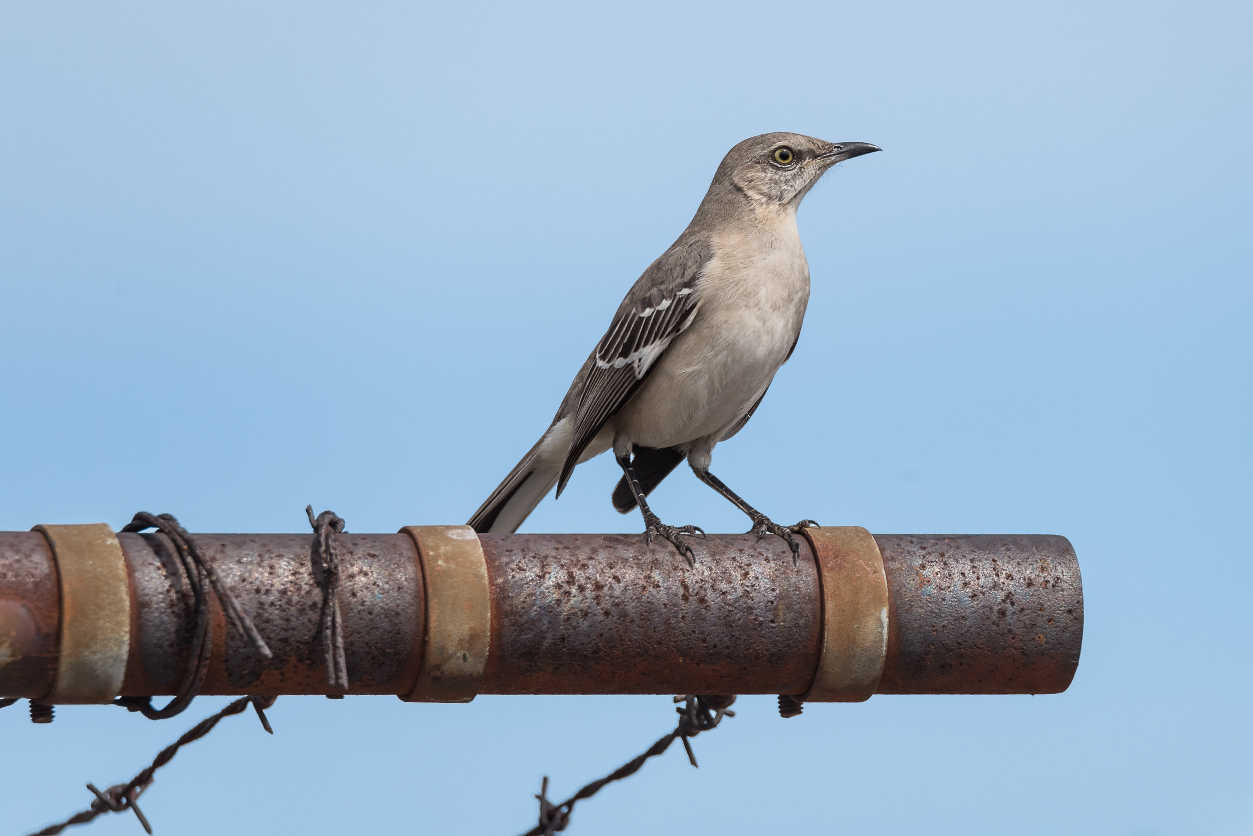 Northern Mocking Bird - Deed's Point