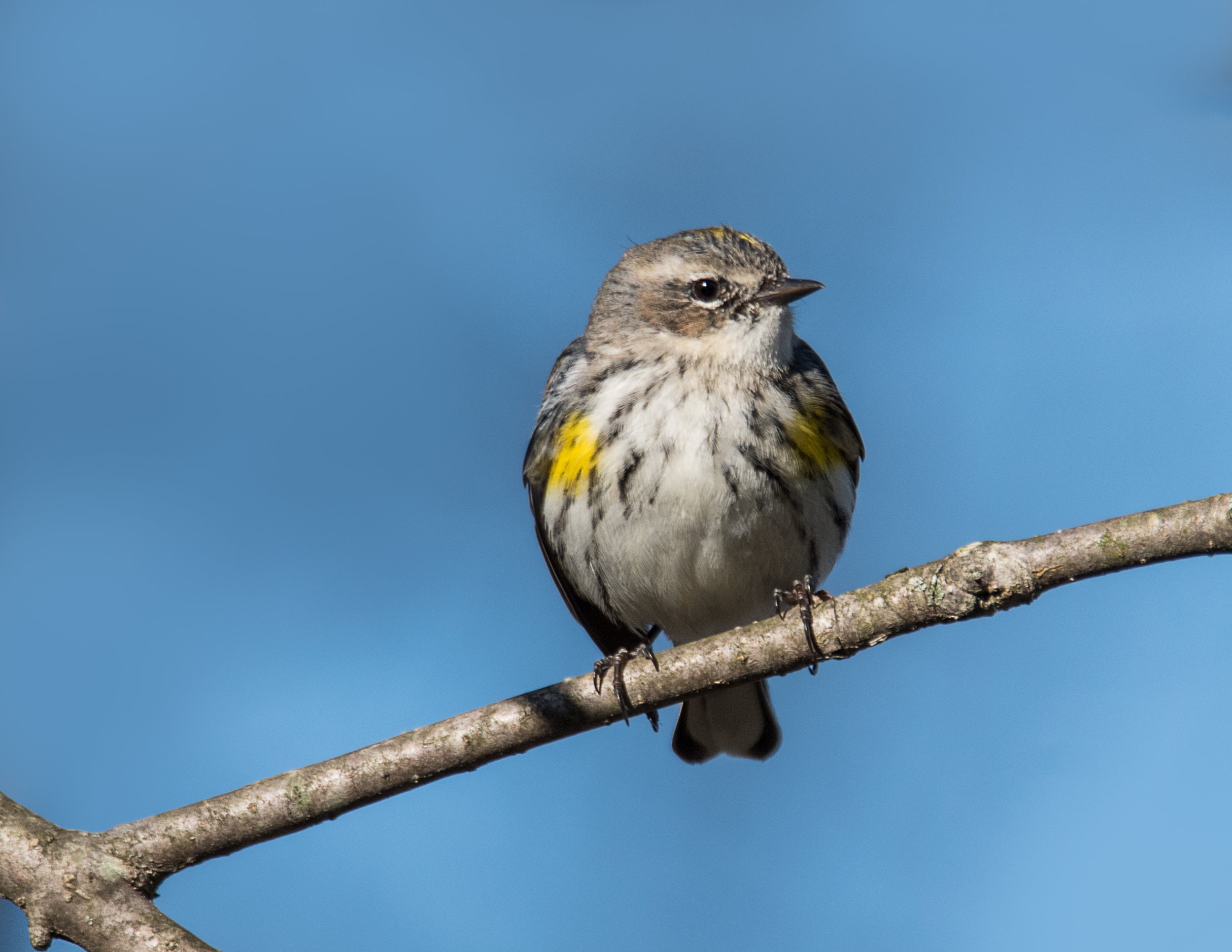 Yellow-Rumped Warbler at Spring Valley Wildlife Area