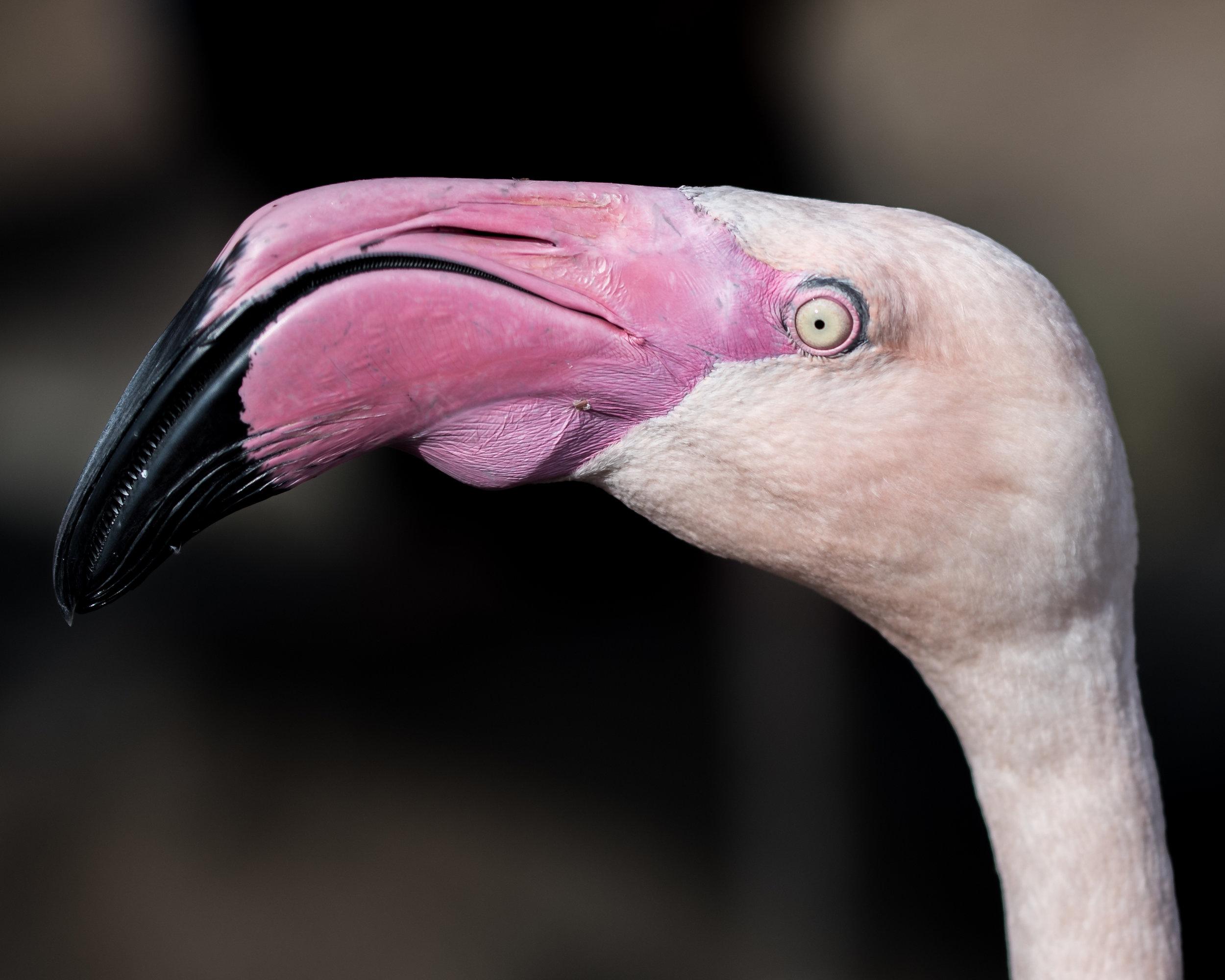 Male American Flamingo