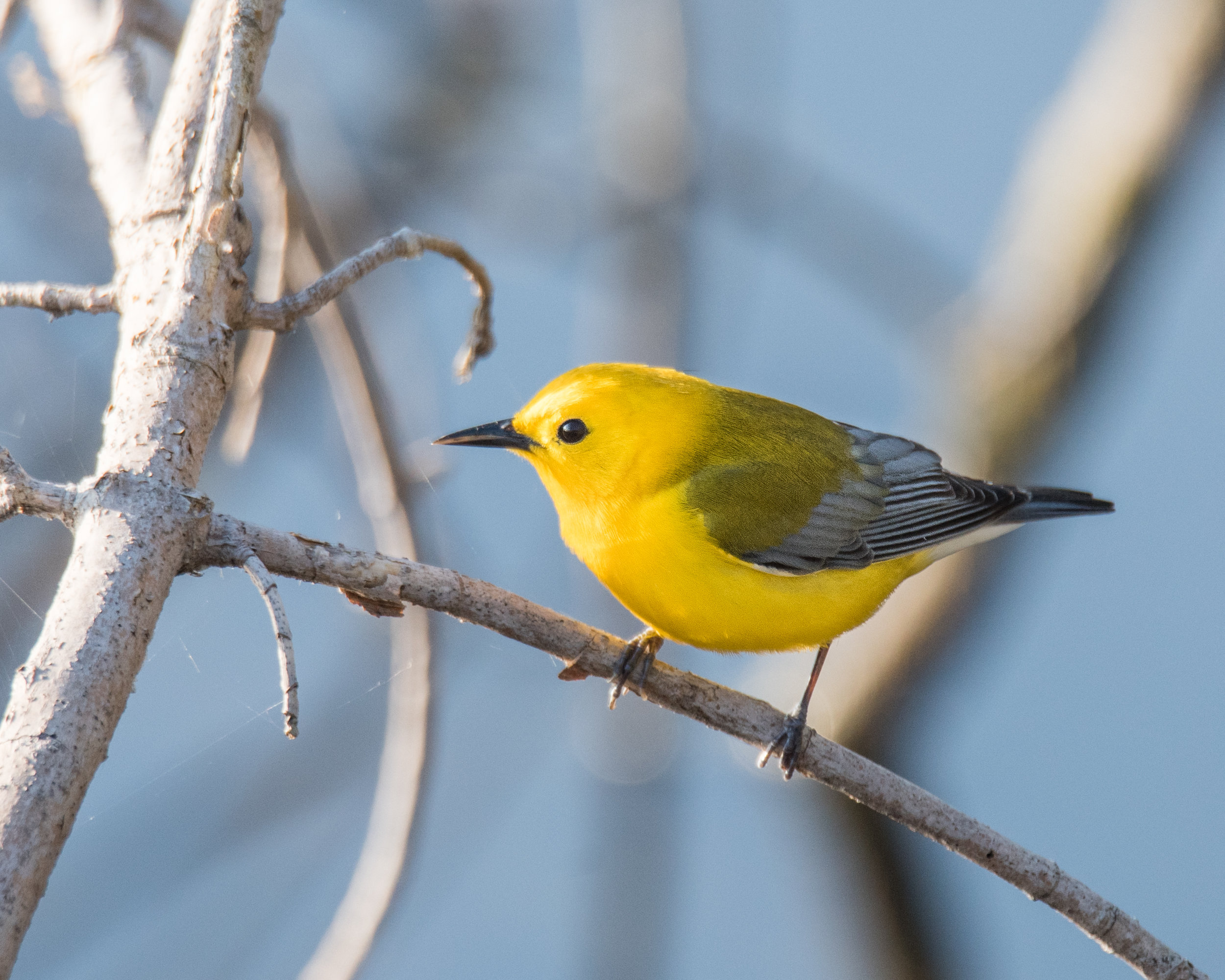 My First Prothonotary Warbler of the Season