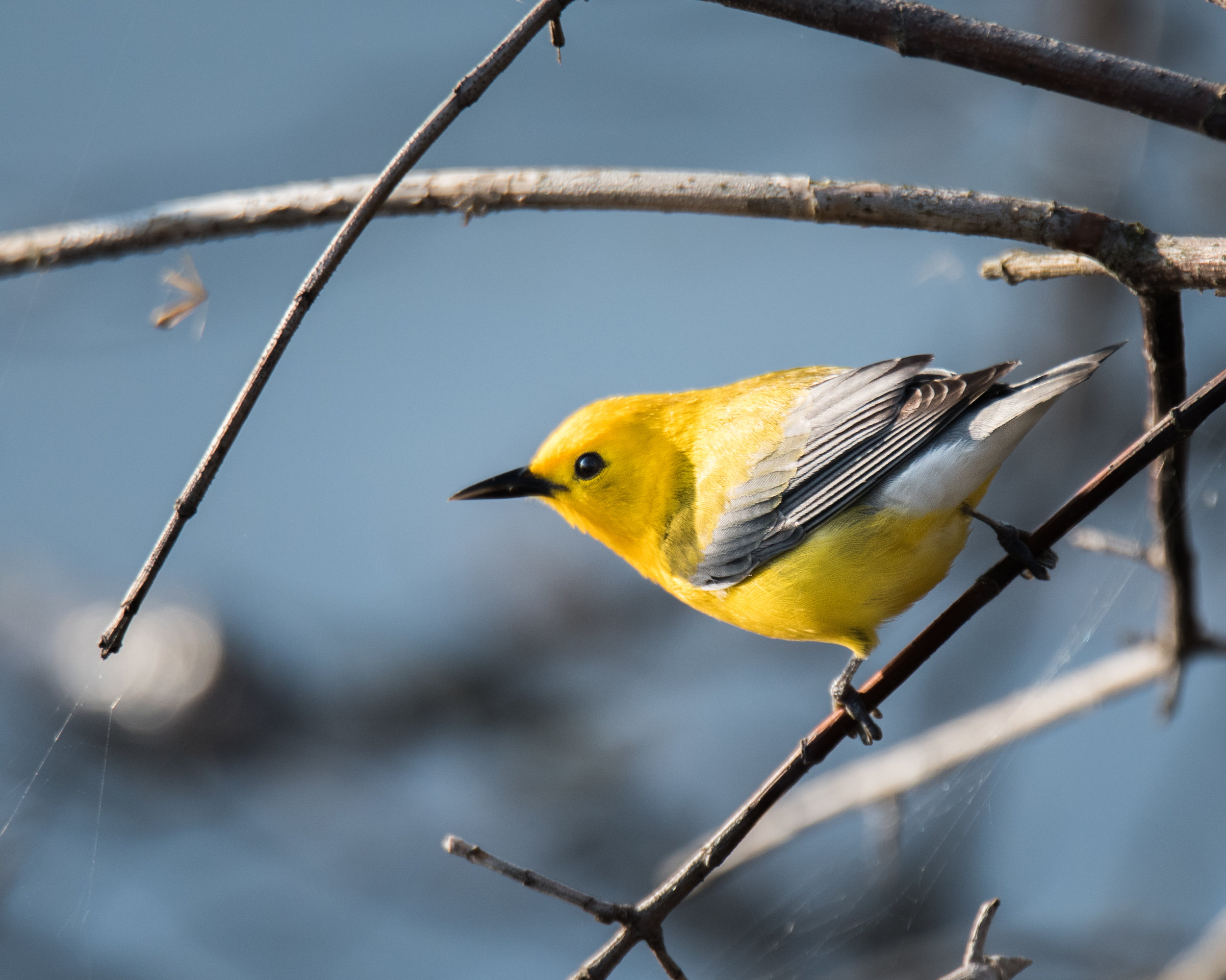 Prothonotary Warbler Hunting for Bugs
