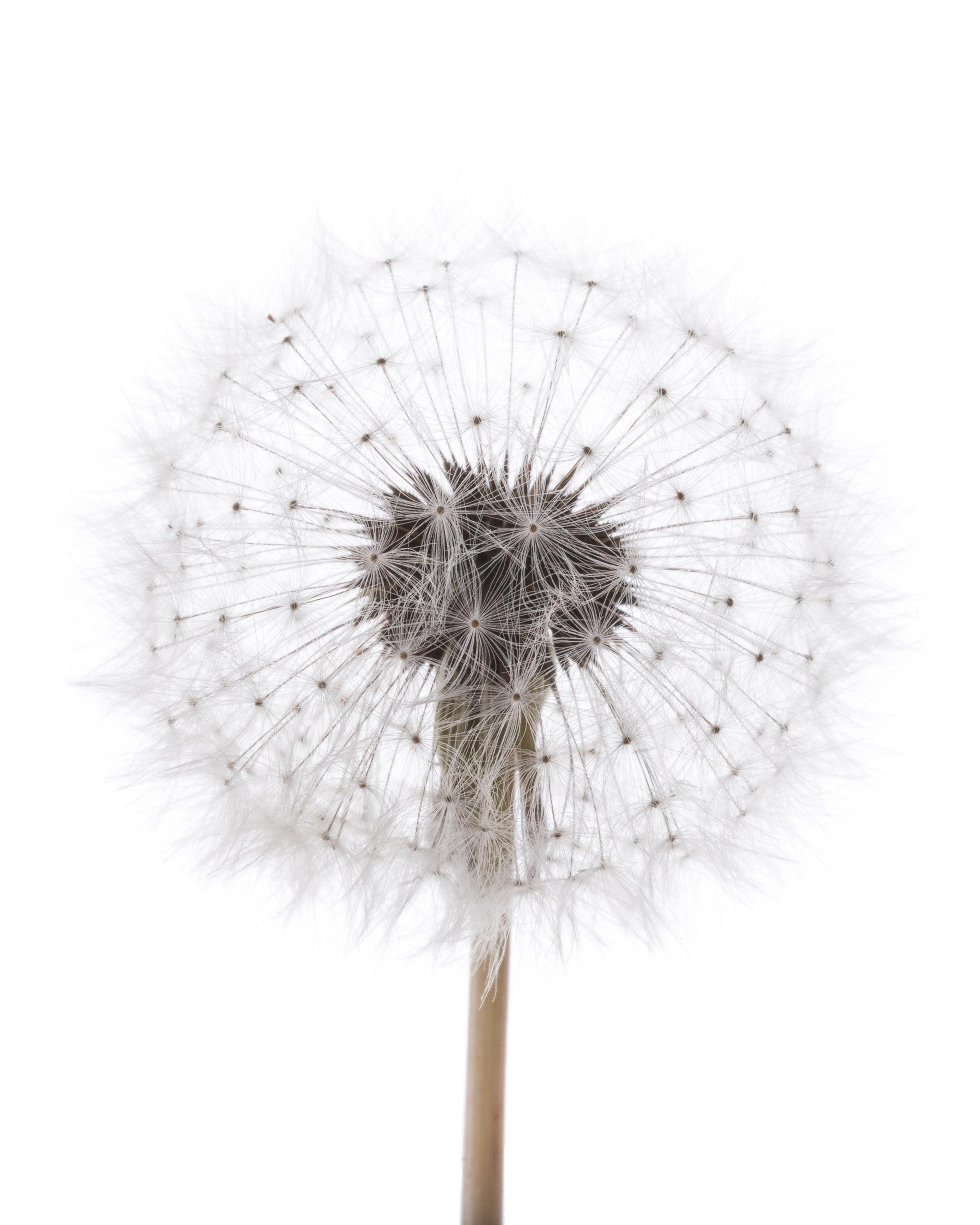dandelion high key