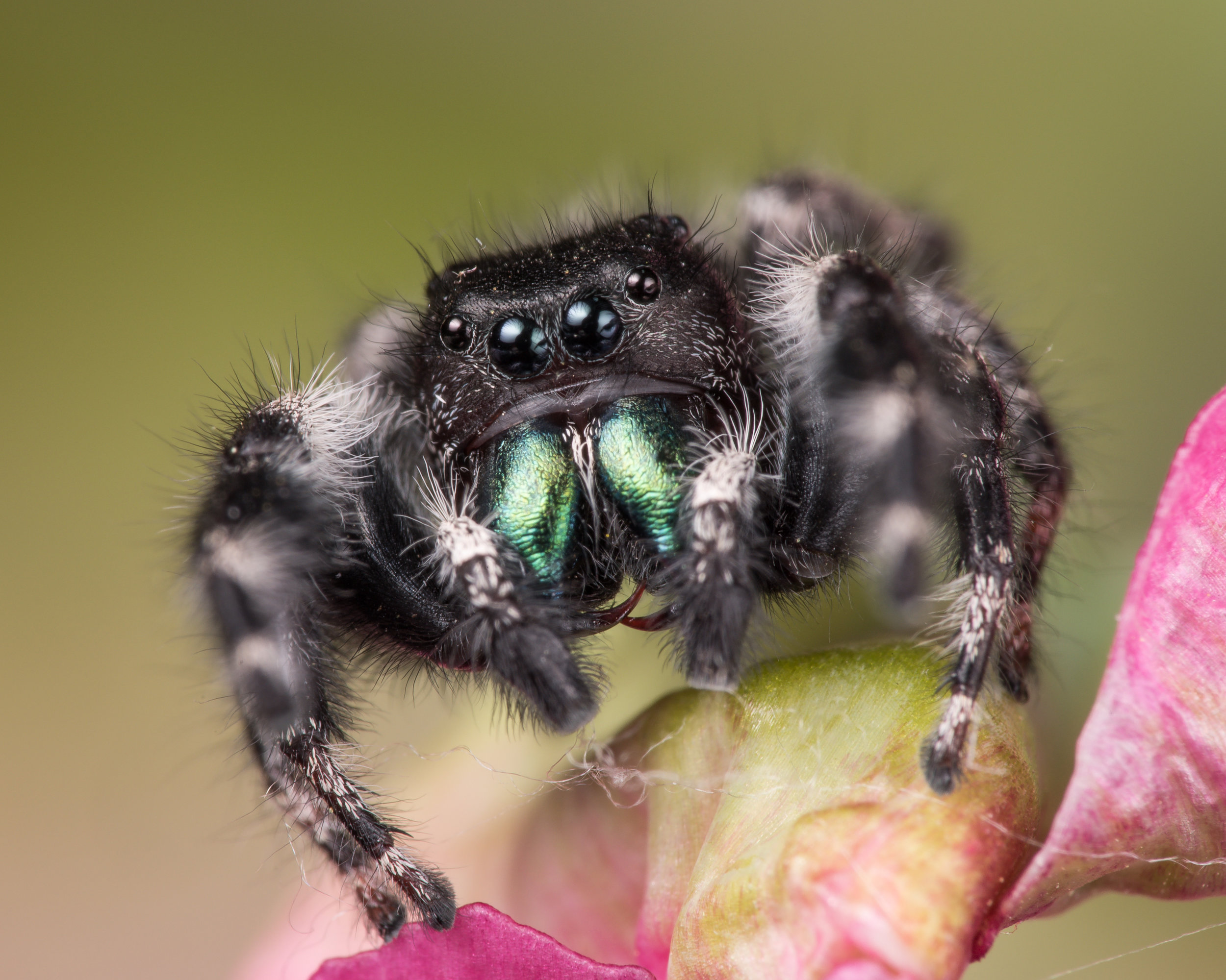"""The Bold"" Jumping Spider - Nikon D750, Tamron SP 90mm F/2.8 MACRO VC, Raynox DCR-250 and KX-800 Twin Light Macro Flash"