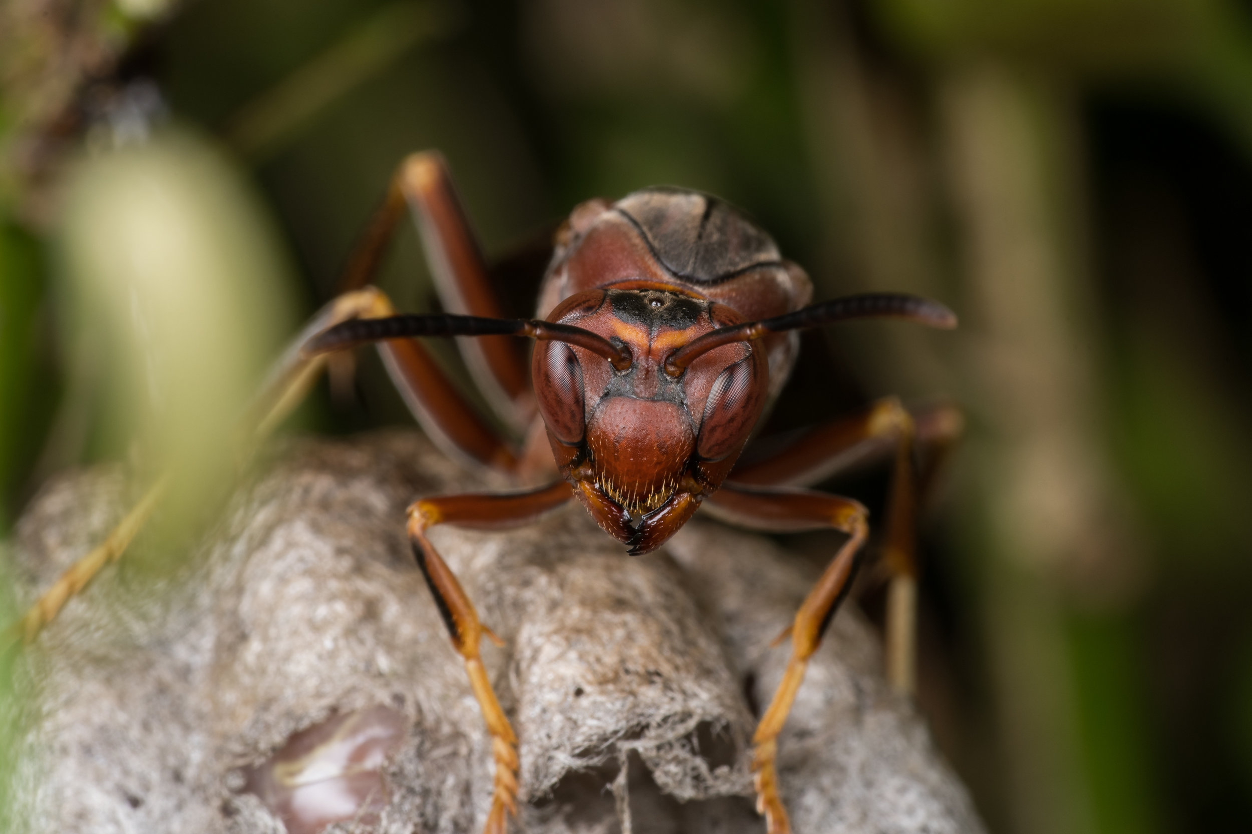 Paper Wasp - Nikon D500, Tamron 90mm SP and Raynox DCR-250)