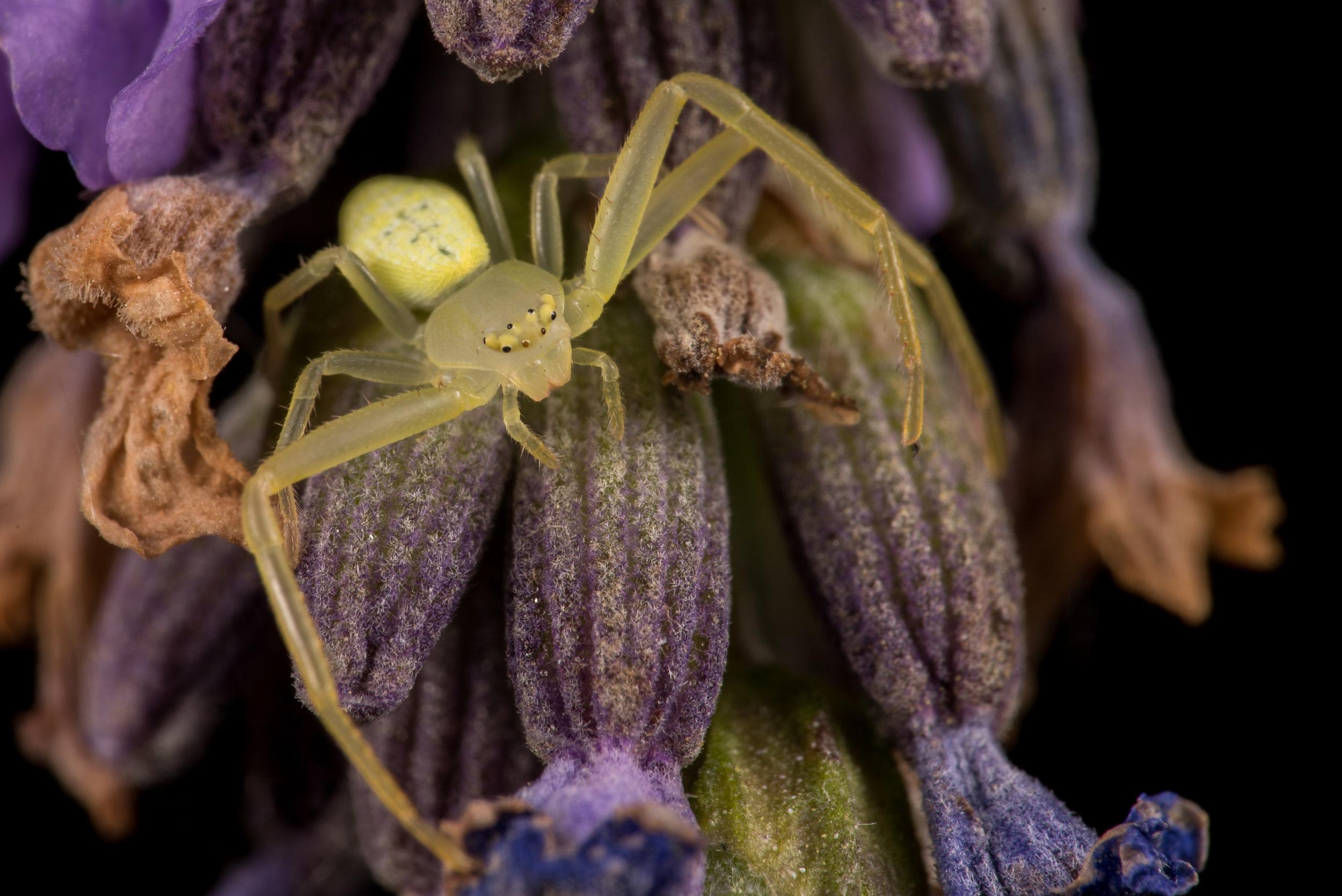 crab spider ohio
